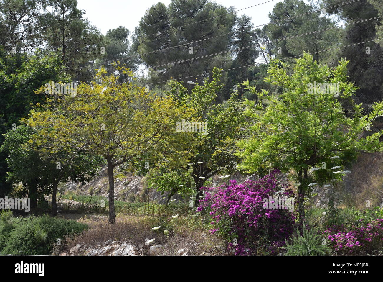 Acacias, pines and flowering plants the bottom of Mount Carmel, Israel. - Stock Image