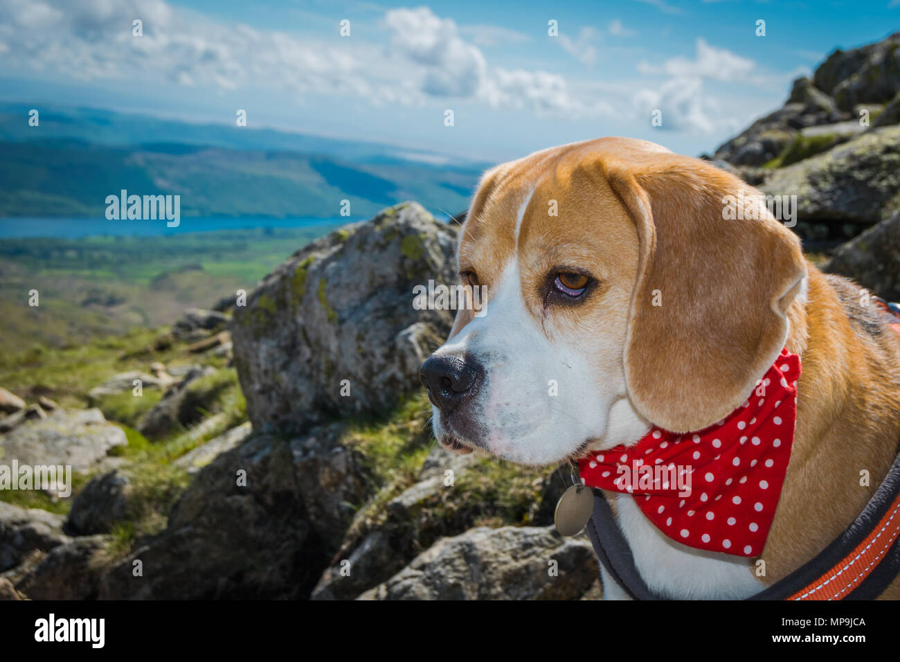 A beagle looks out across the Cumbrian Landscape after Climbing The Old Man Of Coniston in The Lake District, United Kingdom - Stock Image