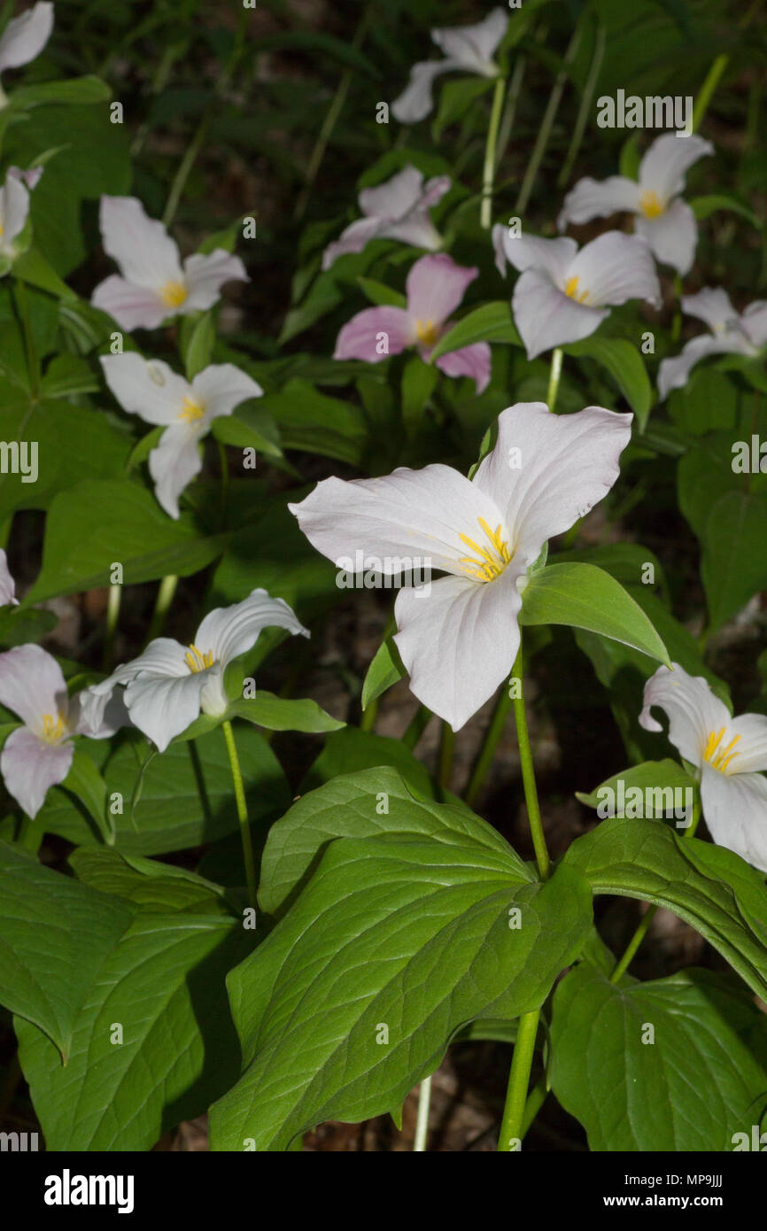 A Colony Of Large Flowered Trillium In The Blue Ridge Mountains Of