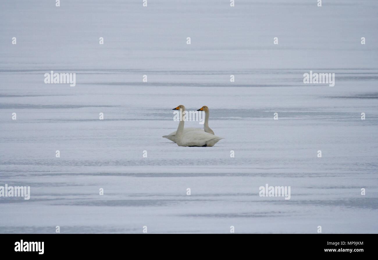 Couple of swam, Cygnus olor, in frozen lake. Iceland - Stock Image