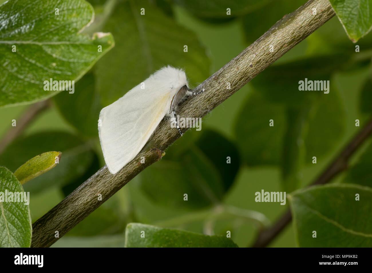 Pappelspinner, Pappel-Trägspinner, Pappel-Spinner, Atlasspinner, Atlas, Weidenspinner, Männchen, Leucoma salicis, Stilpnotia salicis, satin moth, Whit - Stock Image