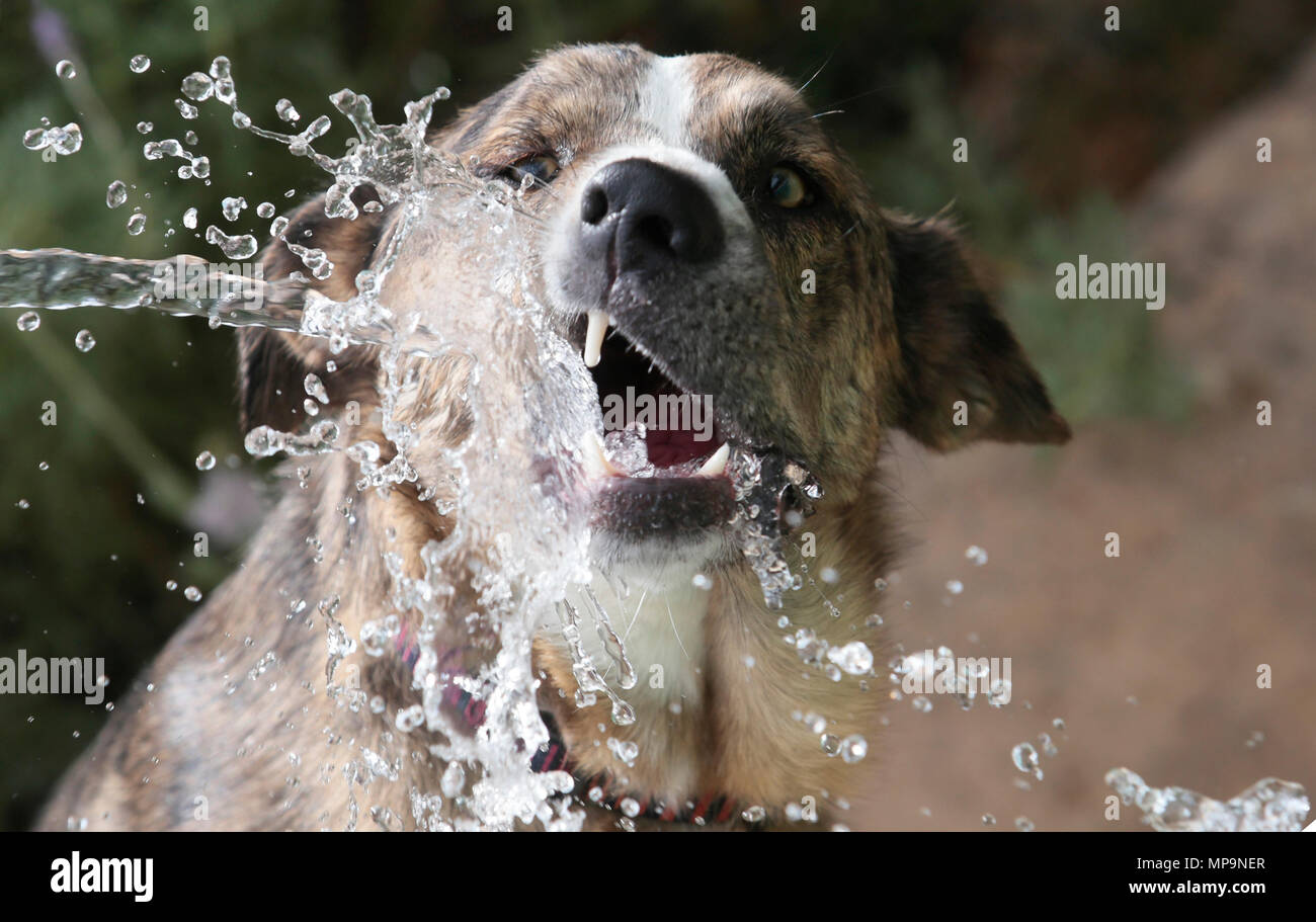 A shepherd Dog plays with a water jet from a hose during a high temperature spring season day in the Spanish mediterranean island of Mallorca Stock Photo