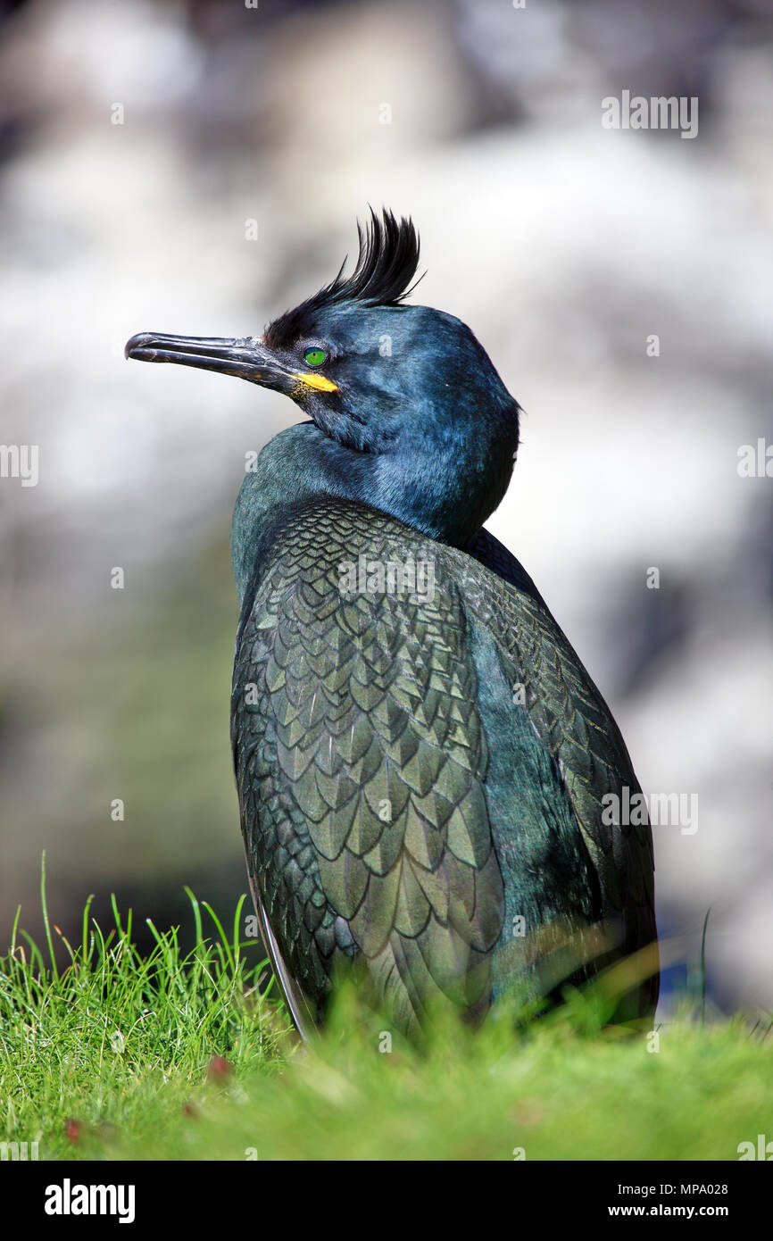Shag, Phalacrocorax aristotelis, on Lunga, Treshnish Isles, Scotland - Stock Image