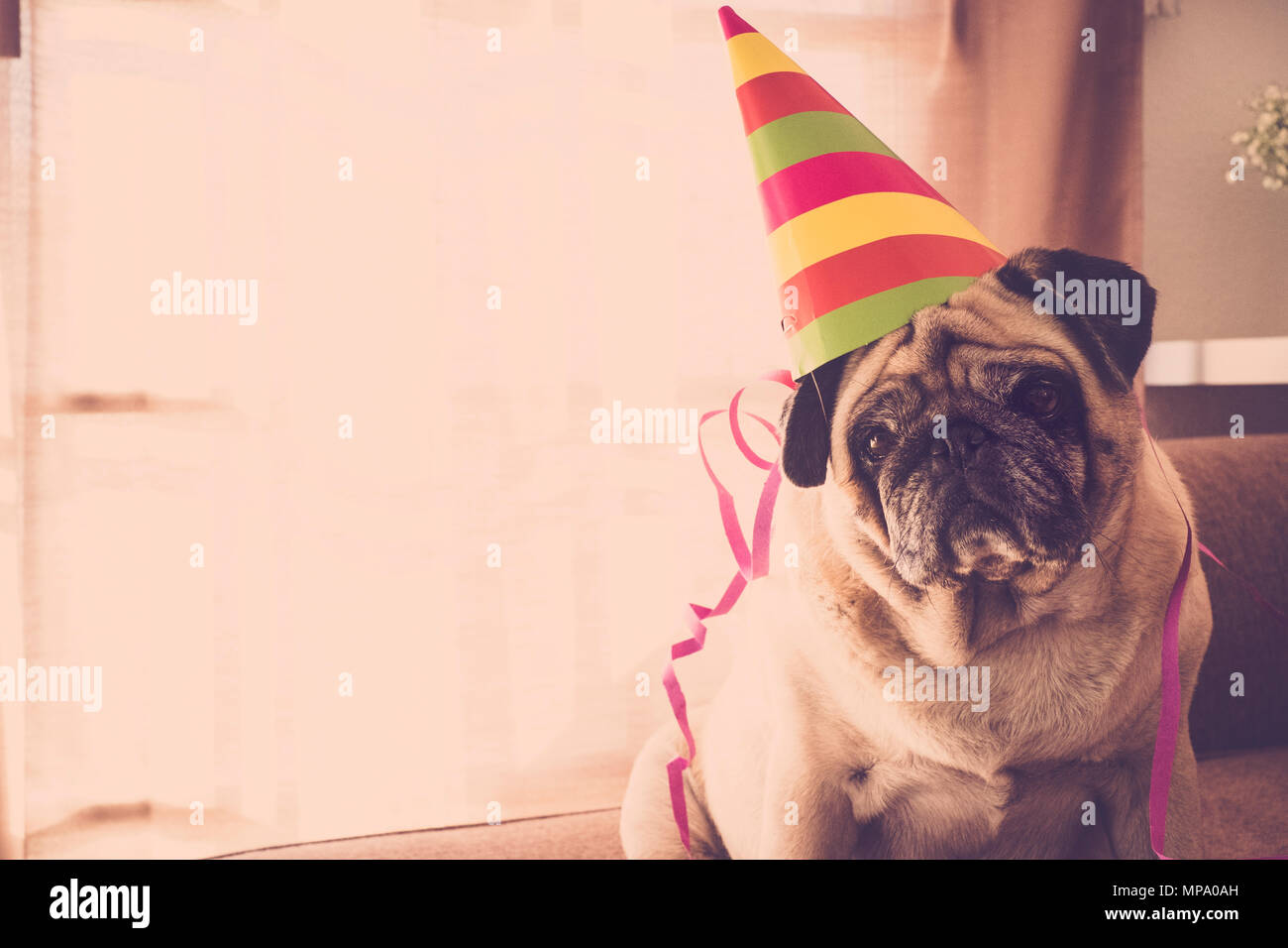 party and celebration time at home for a beautiful pug with nice hat. new year eve concept indoor. - Stock Image