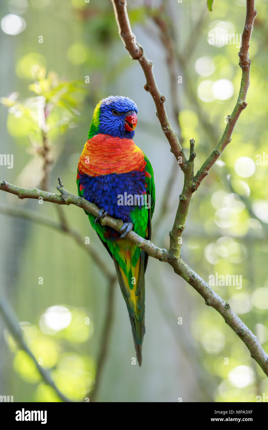 The rainbow lorikeet is a species of parrot found in Australia. It is common along the eastern seaboard, from northern Queensland to South Australia. Stock Photo