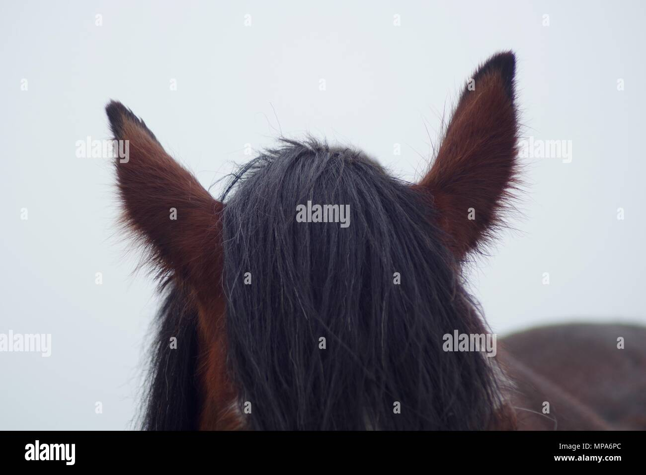 Shire Horse on Doonies Rare Breed Farm. Cove Bay, Aberdeen, Scotland, UK. May, 2018. - Stock Image