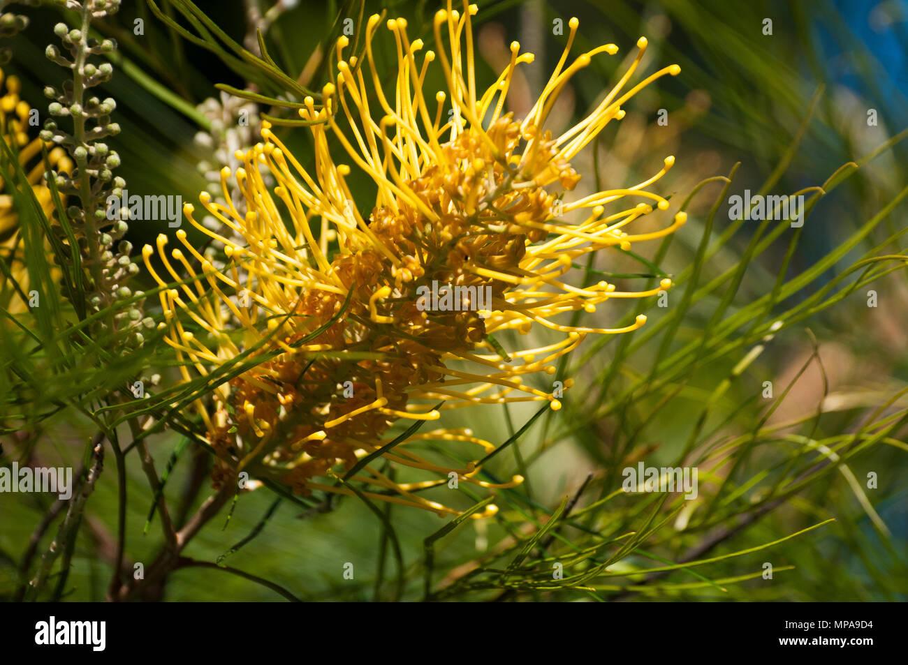 Flowering grevillea bush, possibly Honey Gem variety, Mt Glorious, D'Aguilar National Park, Queensland, Australia - Stock Image