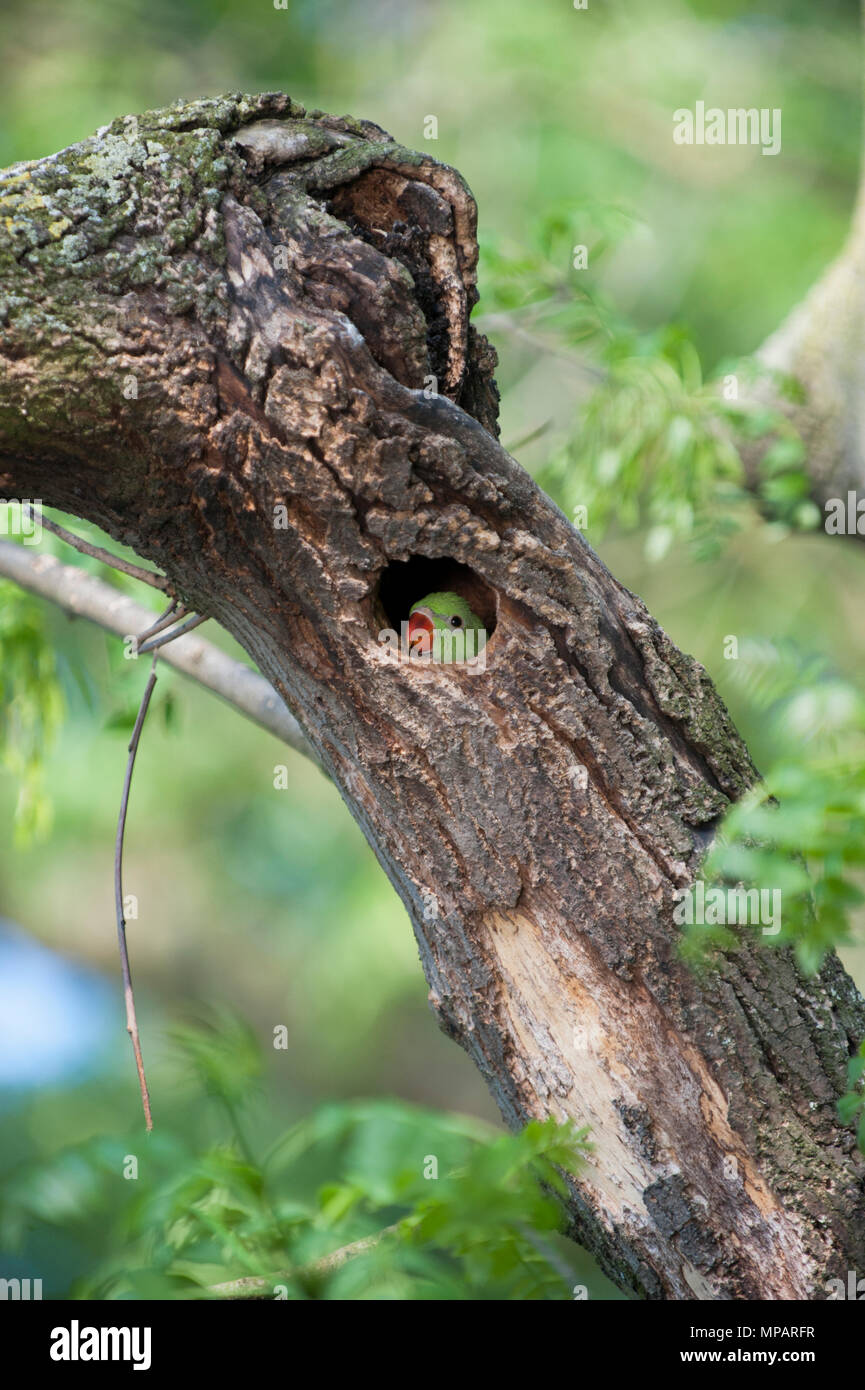 juvenile Ring-necked parakeet,(Psittacula krameri), also known as Rose-ringed parakeet,looks out from its nest hole,Regents Park,London,United Kingdom - Stock Image