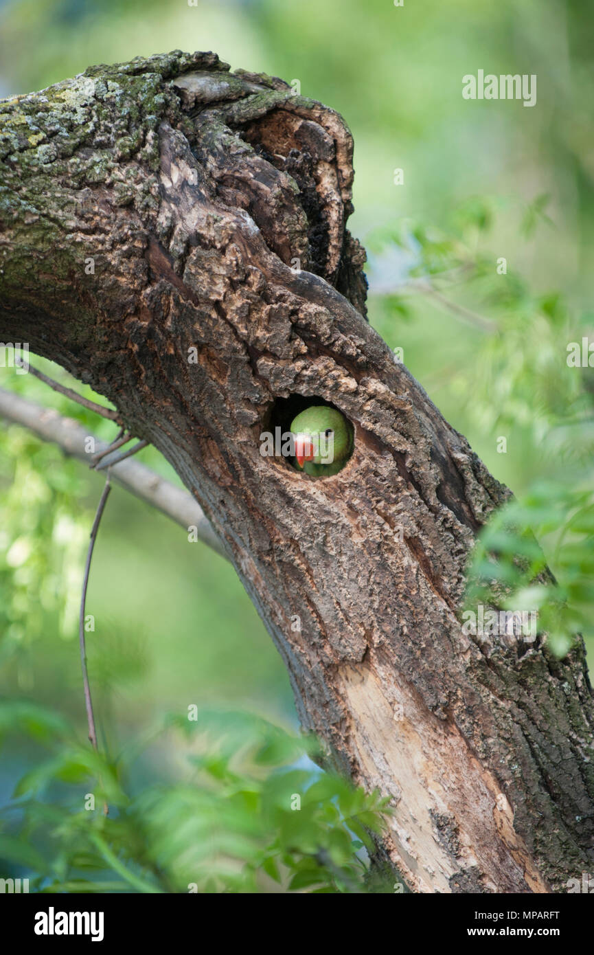 juvenile Ring-necked parakeet,(Psittacula krameri), also known as Rose-ringed parakeet,looks out from its nest hole,Regents Park,London,United Kingdom Stock Photo