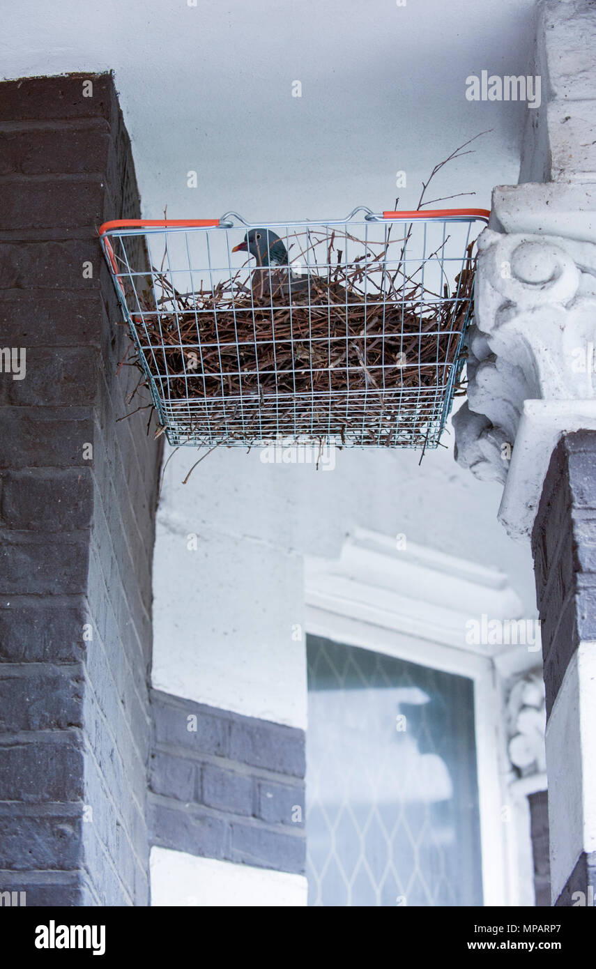 Wood Pigeon, (Columba palumbus),sitting on two eggs in a nest of twigs built in a Sainsburys shopping basket, London, United Kingdom - Stock Image