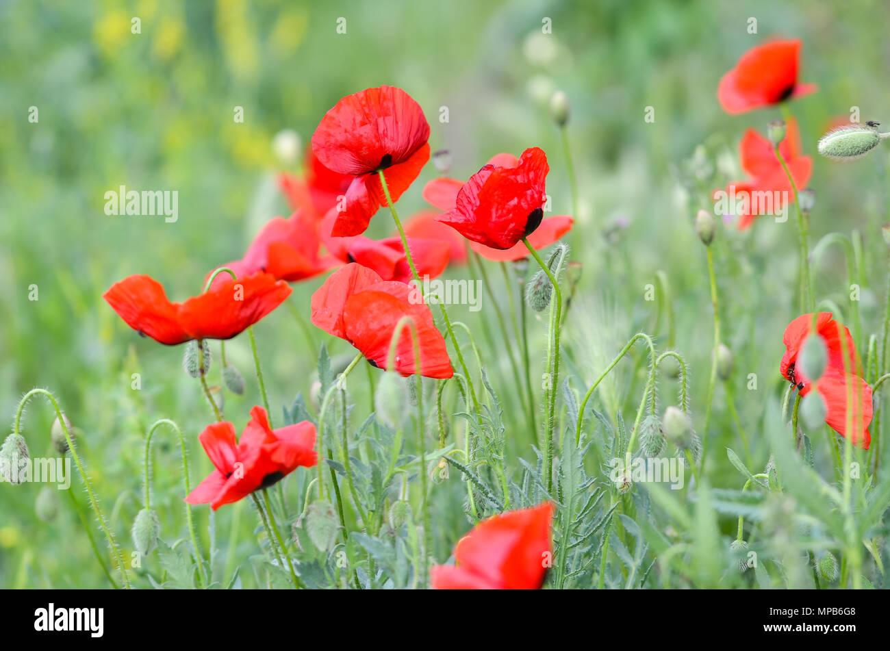 Field Of Poppy Flowers On A Windy Day Stock Photo 185872744 Alamy