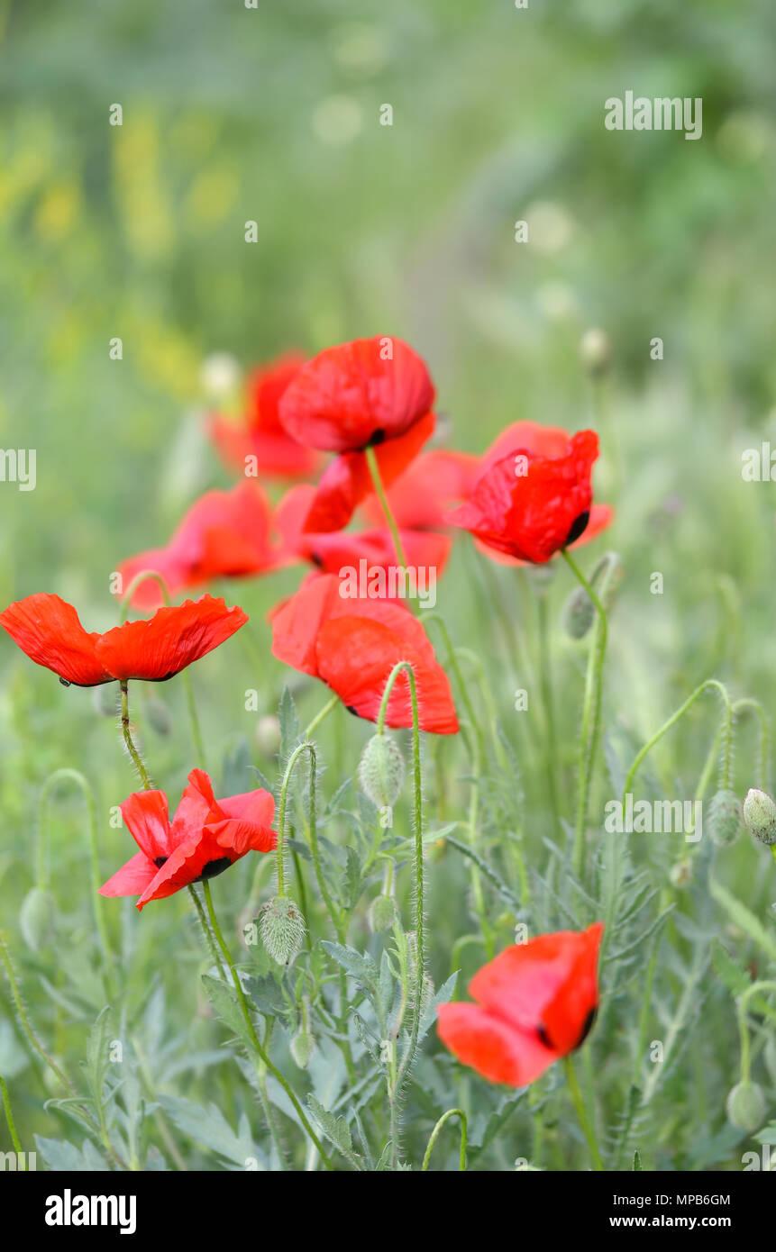 Field Of Poppy Flowers On A Windy Day Stock Photo 185872756 Alamy