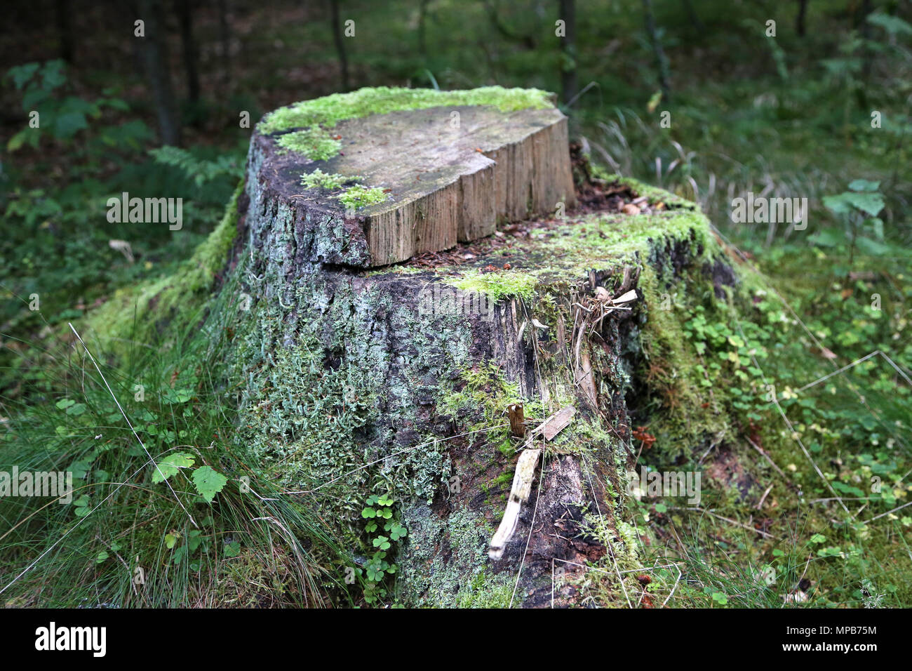 tree trunk with vegetation - Stock Image