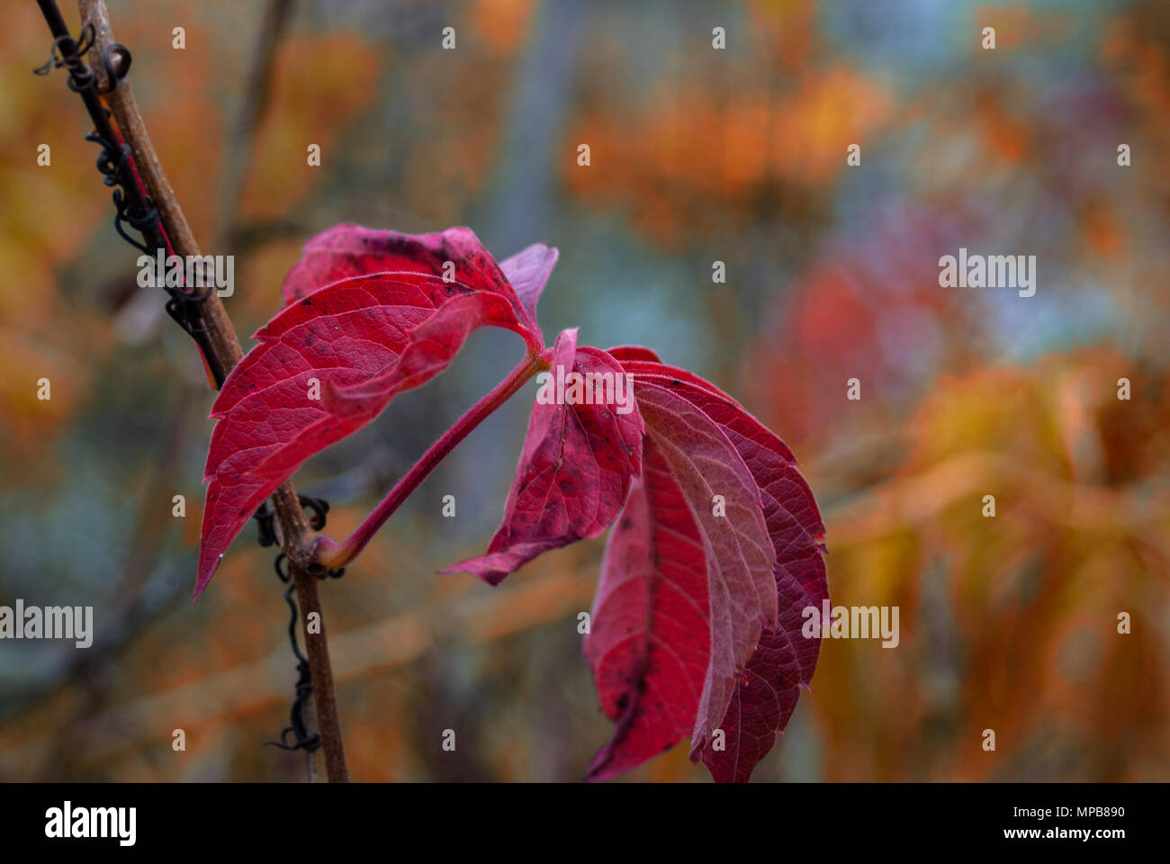 The Last Living Red Maple Leaves in November in Upstate New York - Stock Image