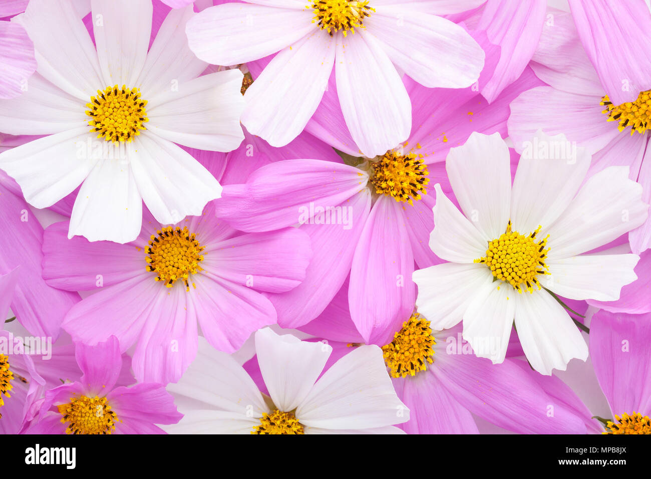 Floral Background Of Light Pink And White Cosmos Flowers Flat Lay