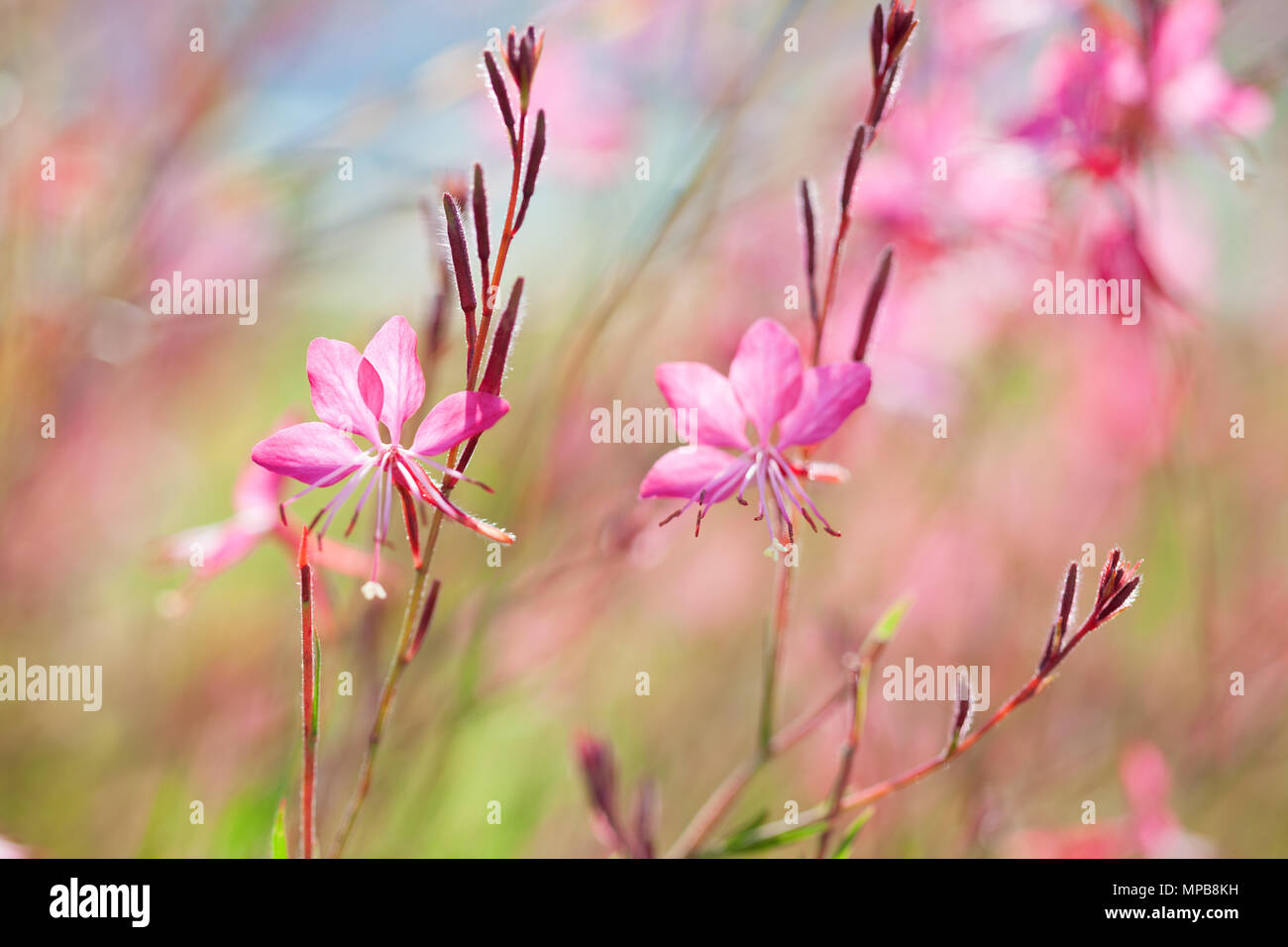 Close-up of beautiful small pink flowers ( Siskiyou Pink Gaura)  in the sunlight at  summer  morning.   Painterly colorful artistic image with  soft f Stock Photo