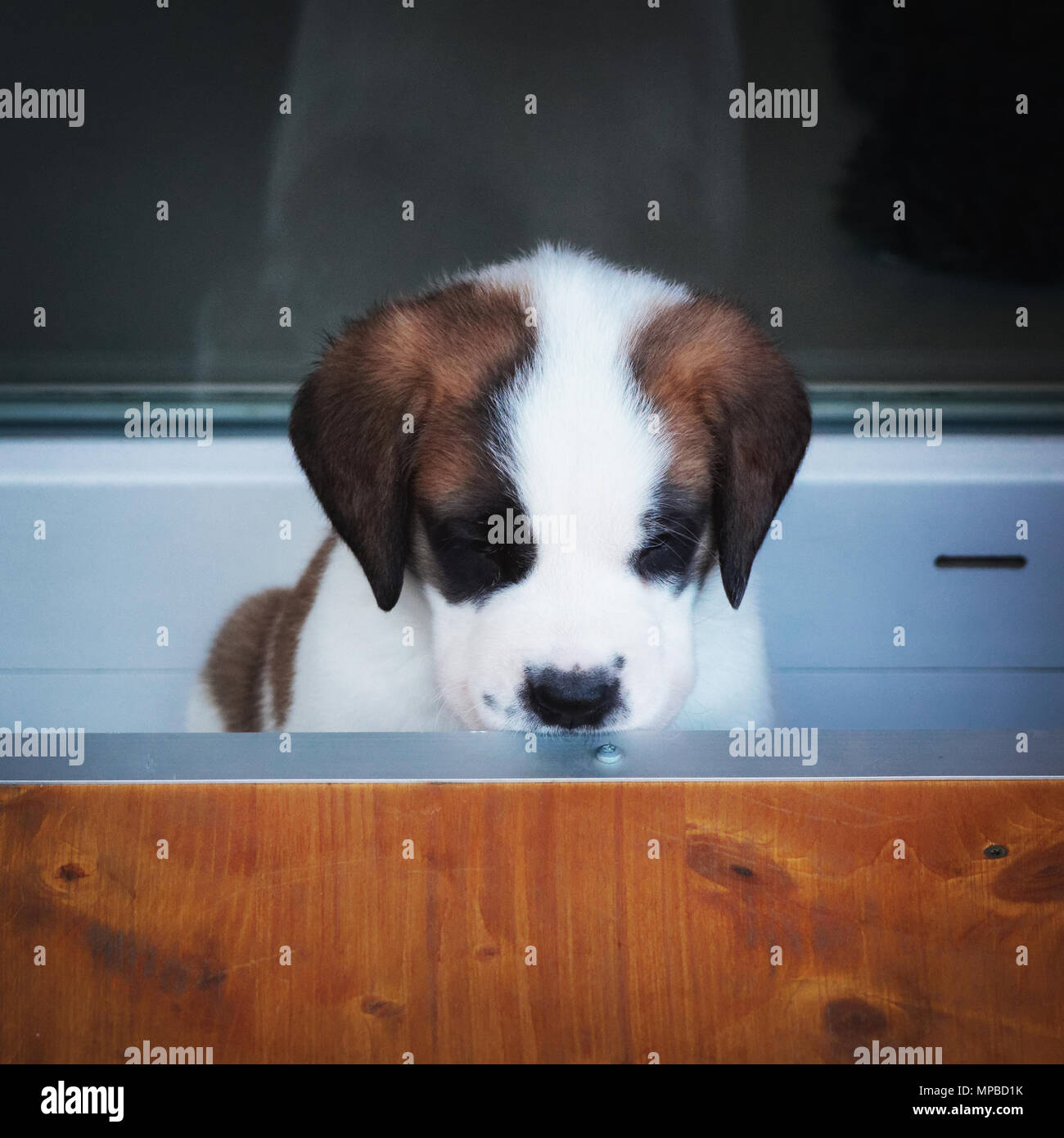 Saint Bernard puppy playing in breeding kennel at Martigny, near the Great St. Bernard Pass at the Alps in Switzerland Stock Photo