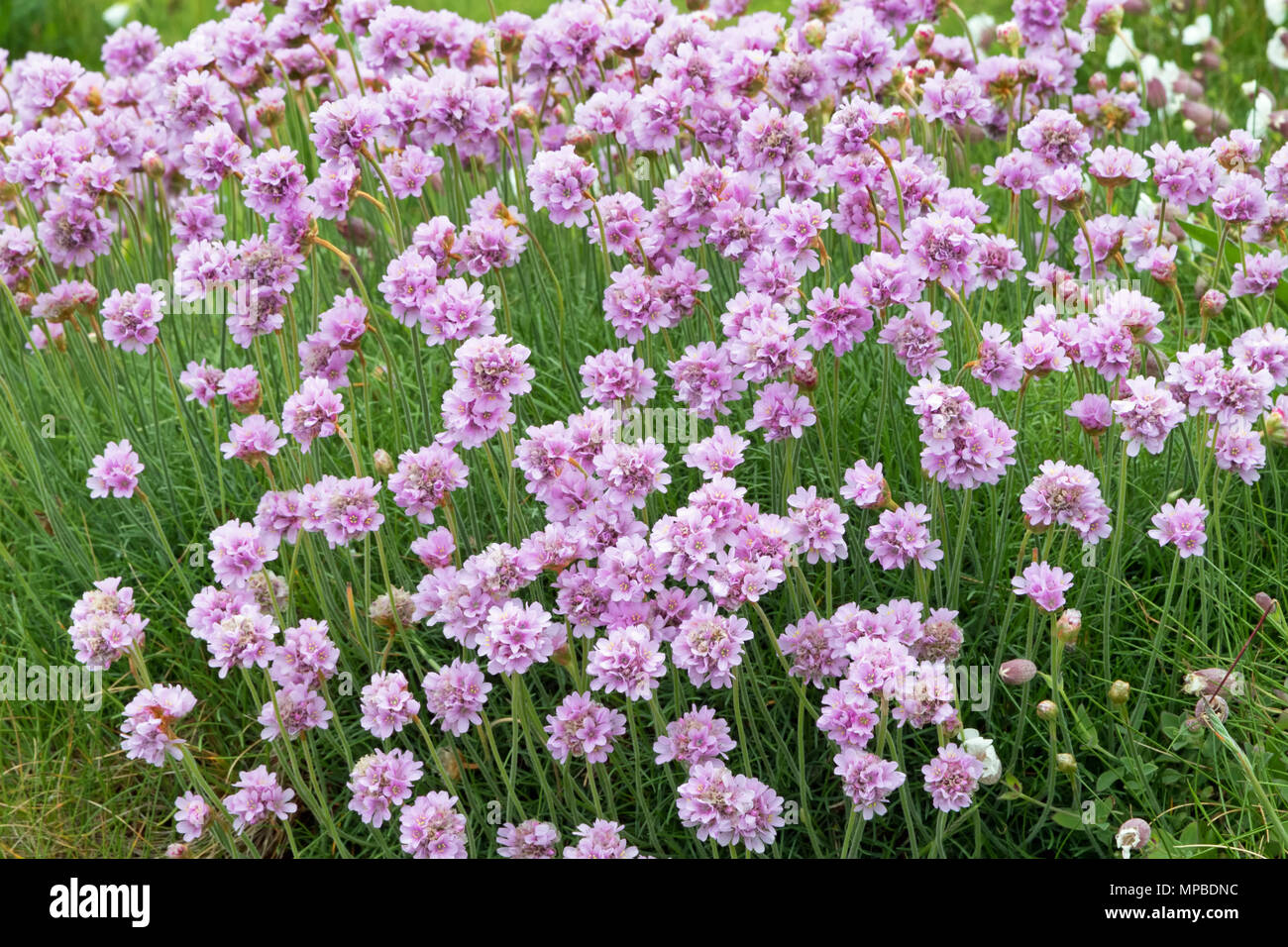 Wild flower sea pinks plumbaginaceae stock photos wild flower sea clump of sea pinks armeria maritima stock image mightylinksfo