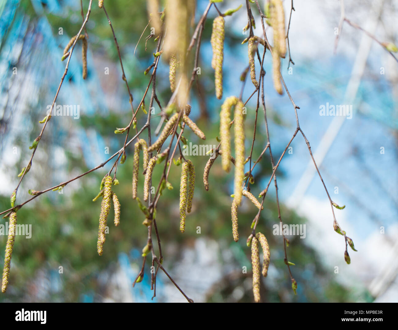 young birch branches with earrings, buds and leaves on blue sky background, selective focus Stock Photo
