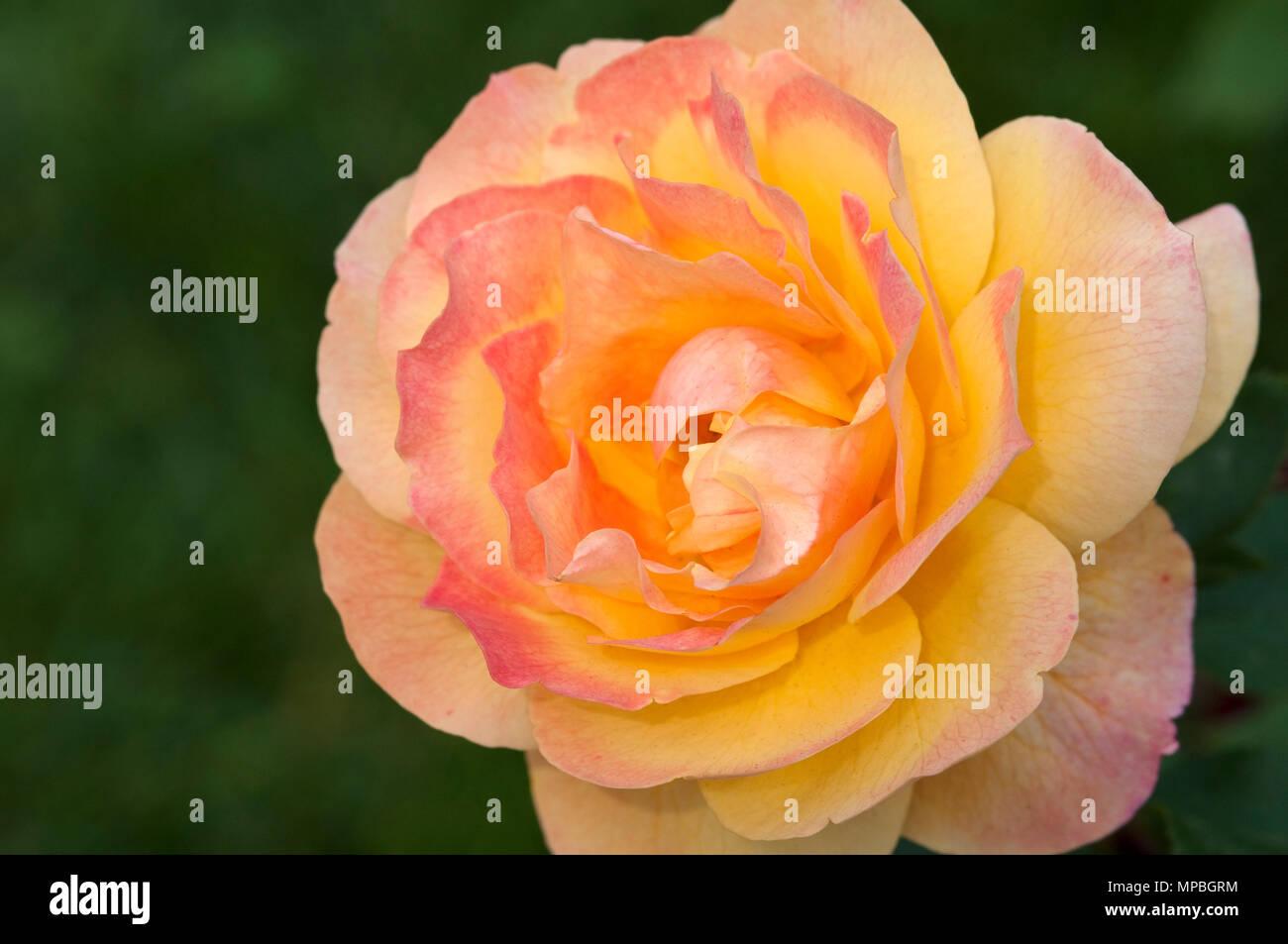 ROSA GRANDIFLORA 'STRIKE IT RICH' - Stock Image