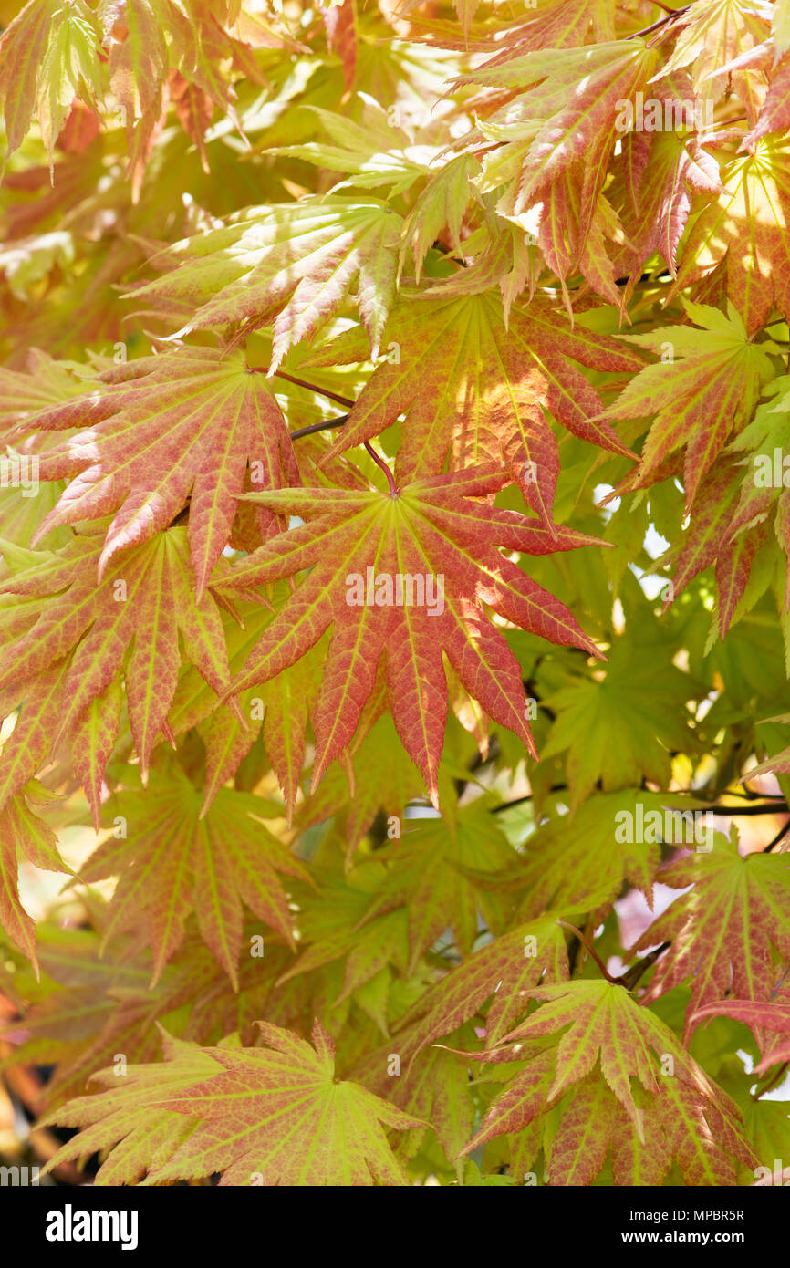 Acer Shirasawanum Autumn Moon Shirasawa Maple Autumn Moon Tree