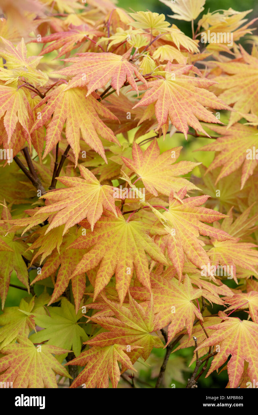 Acer Shirasawanum Autumn Moon Stock Photos Acer Shirasawanum