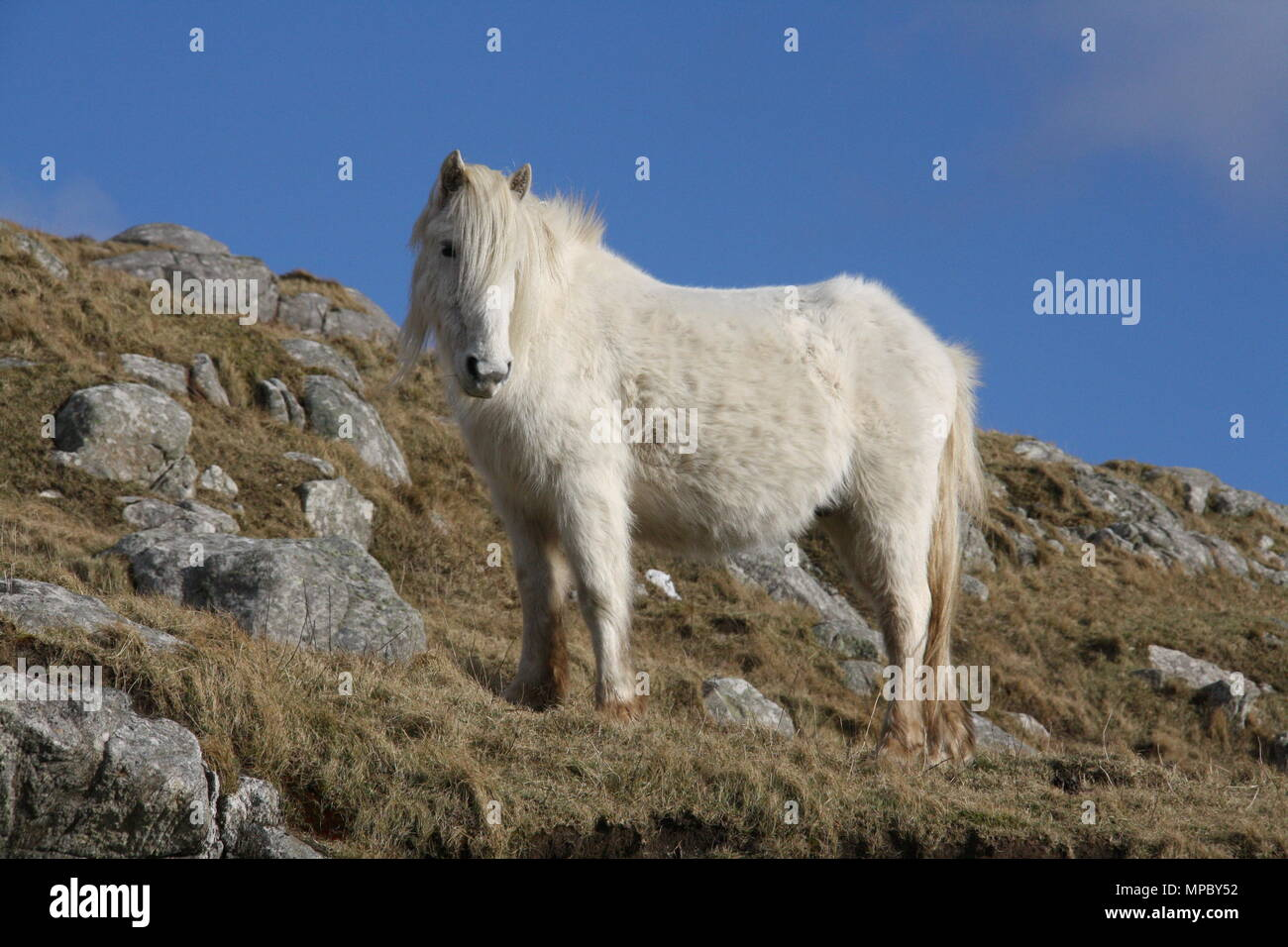 A wild Eriskay pony roams the hillsides of Eriskay, South Uist, Outer Hebrides. - Stock Image