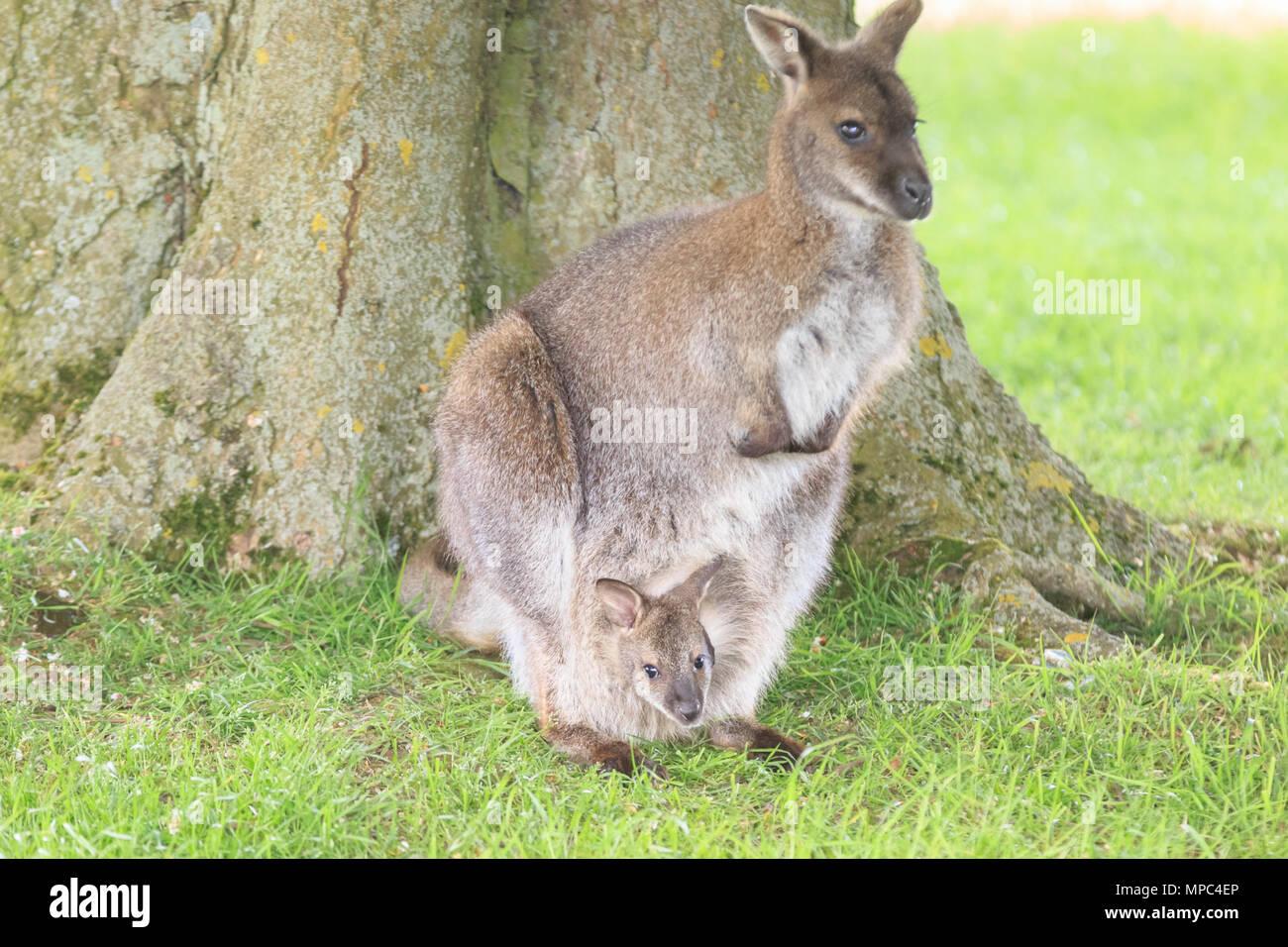 Kangaroo Joey In Zoo Animal Pouch Stock Photos & Kangaroo