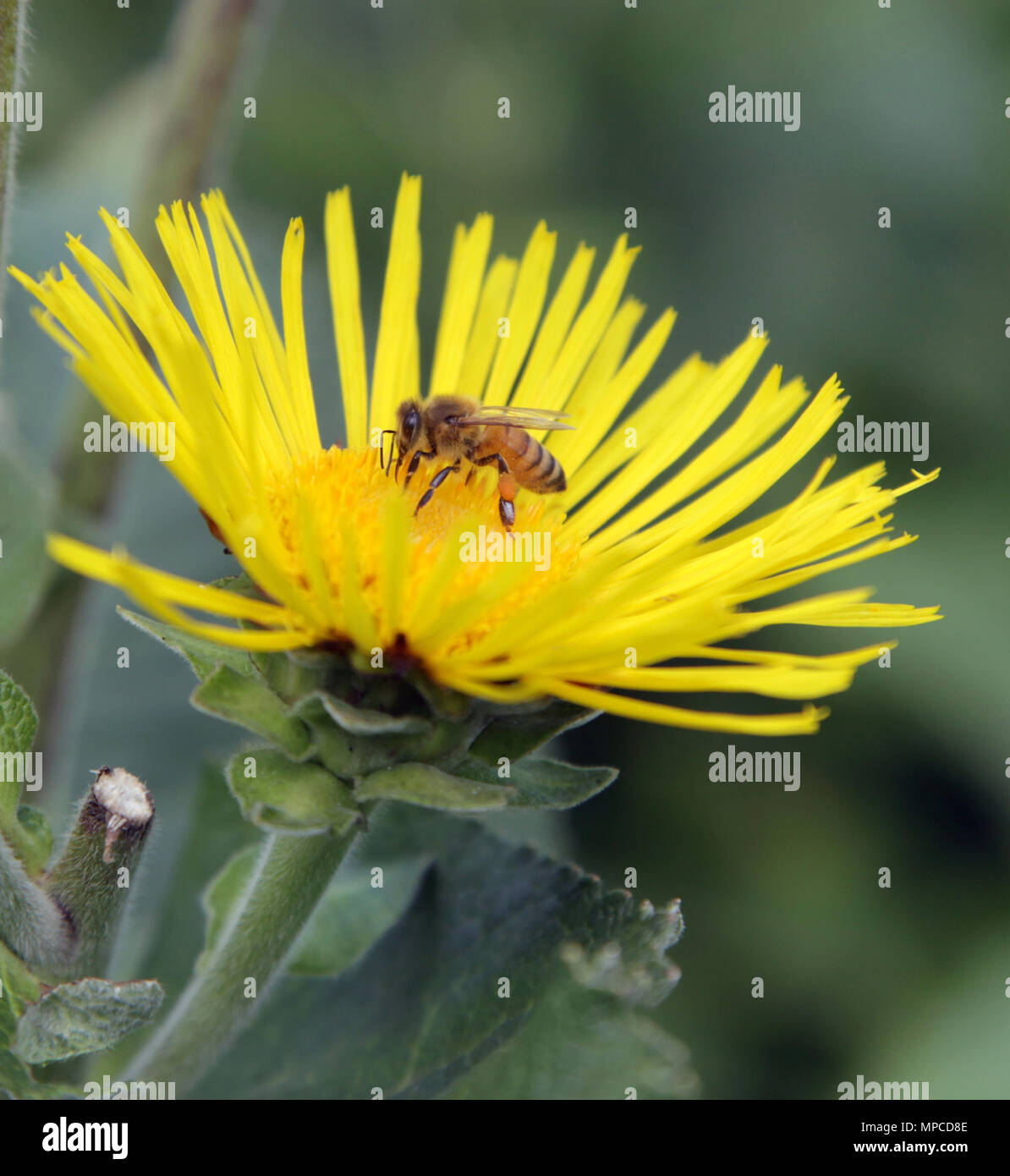 Bee on a yellow flower - Stock Image