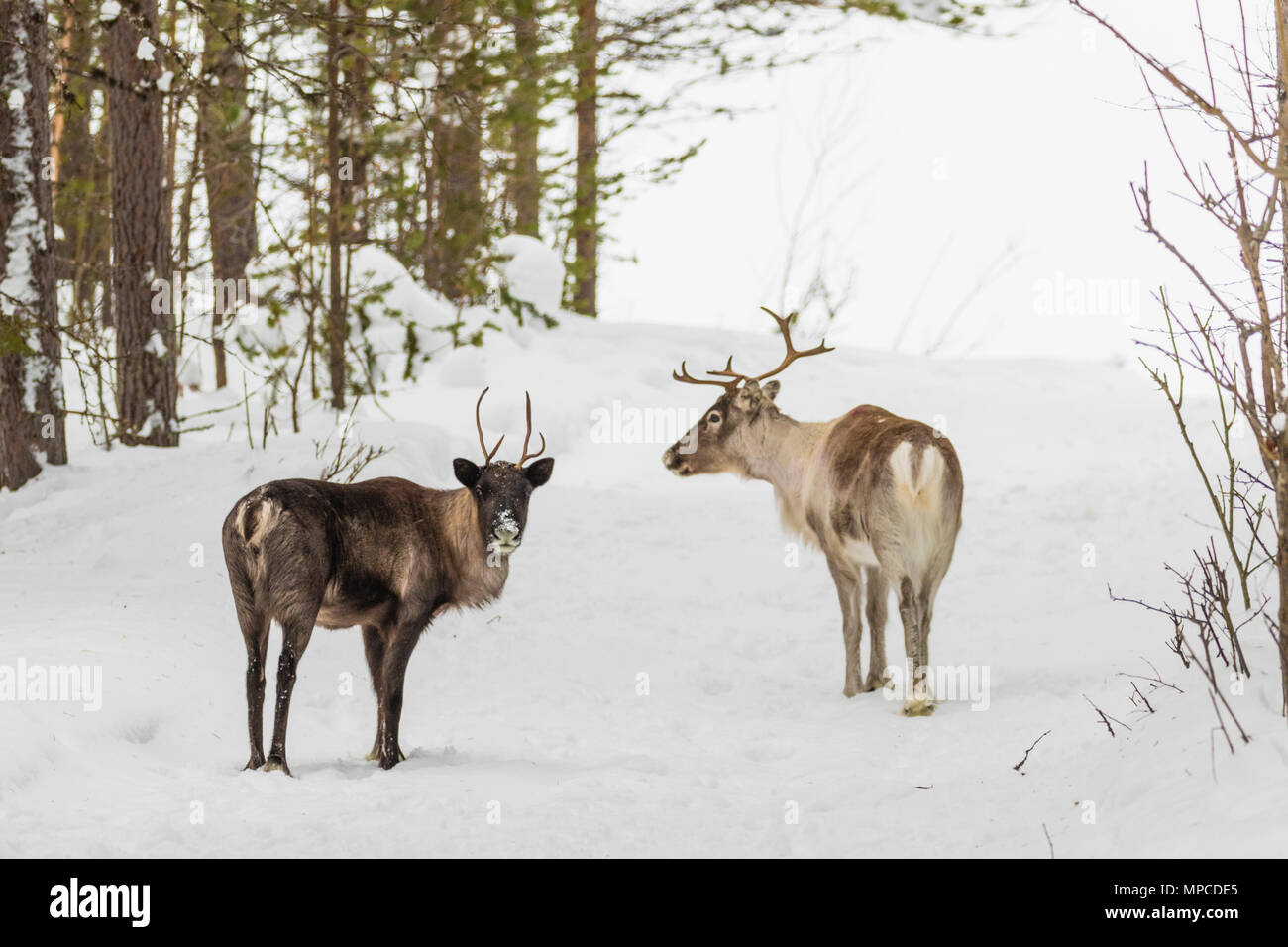 Two Reindeers, Rangifer tarandus, standing in forest in winter season looking in to the camera, Gällivare county, Swedish Lapland, Sweden - Stock Image