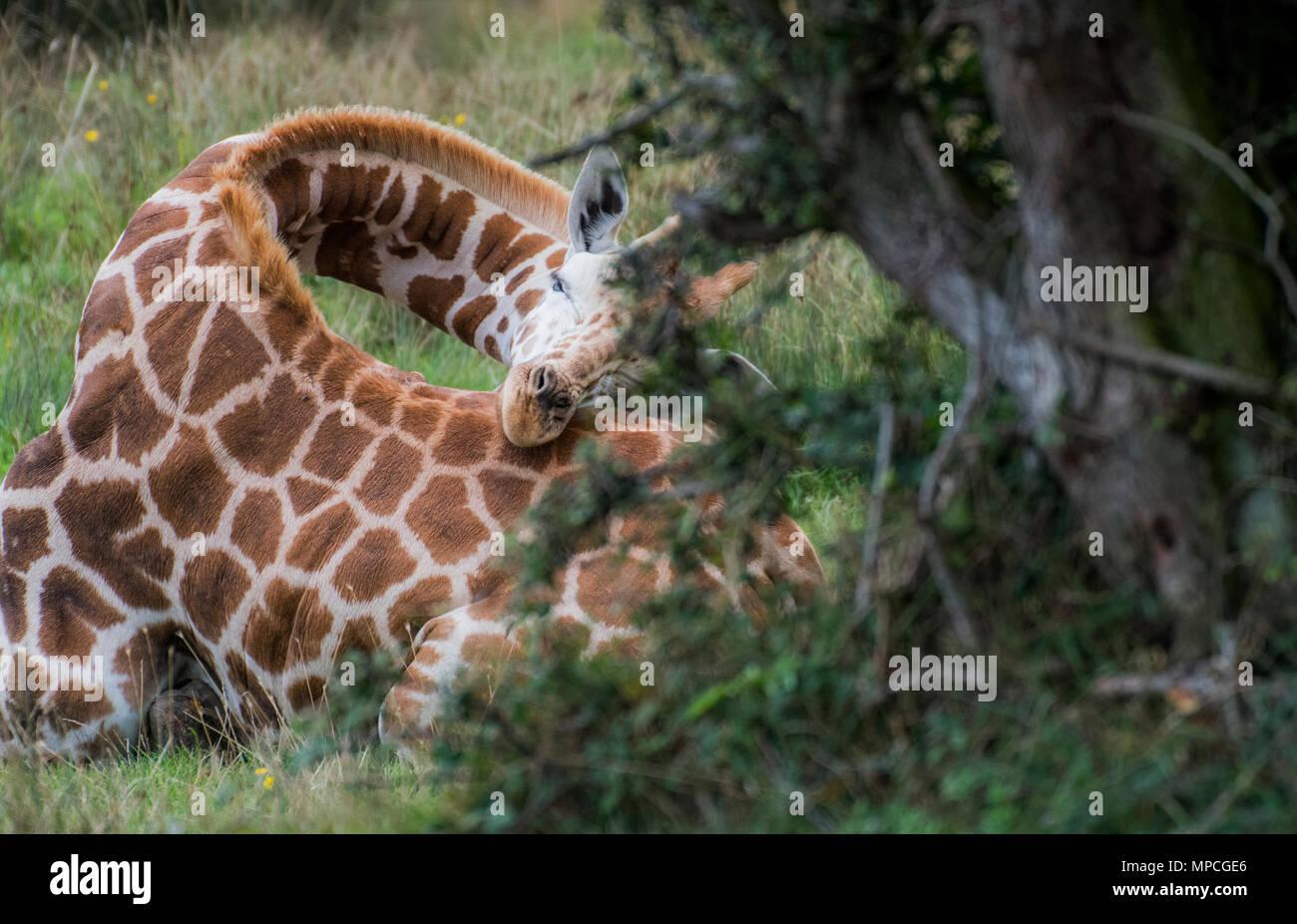 a rare moment catching a wild giraffe asleep - Stock Image
