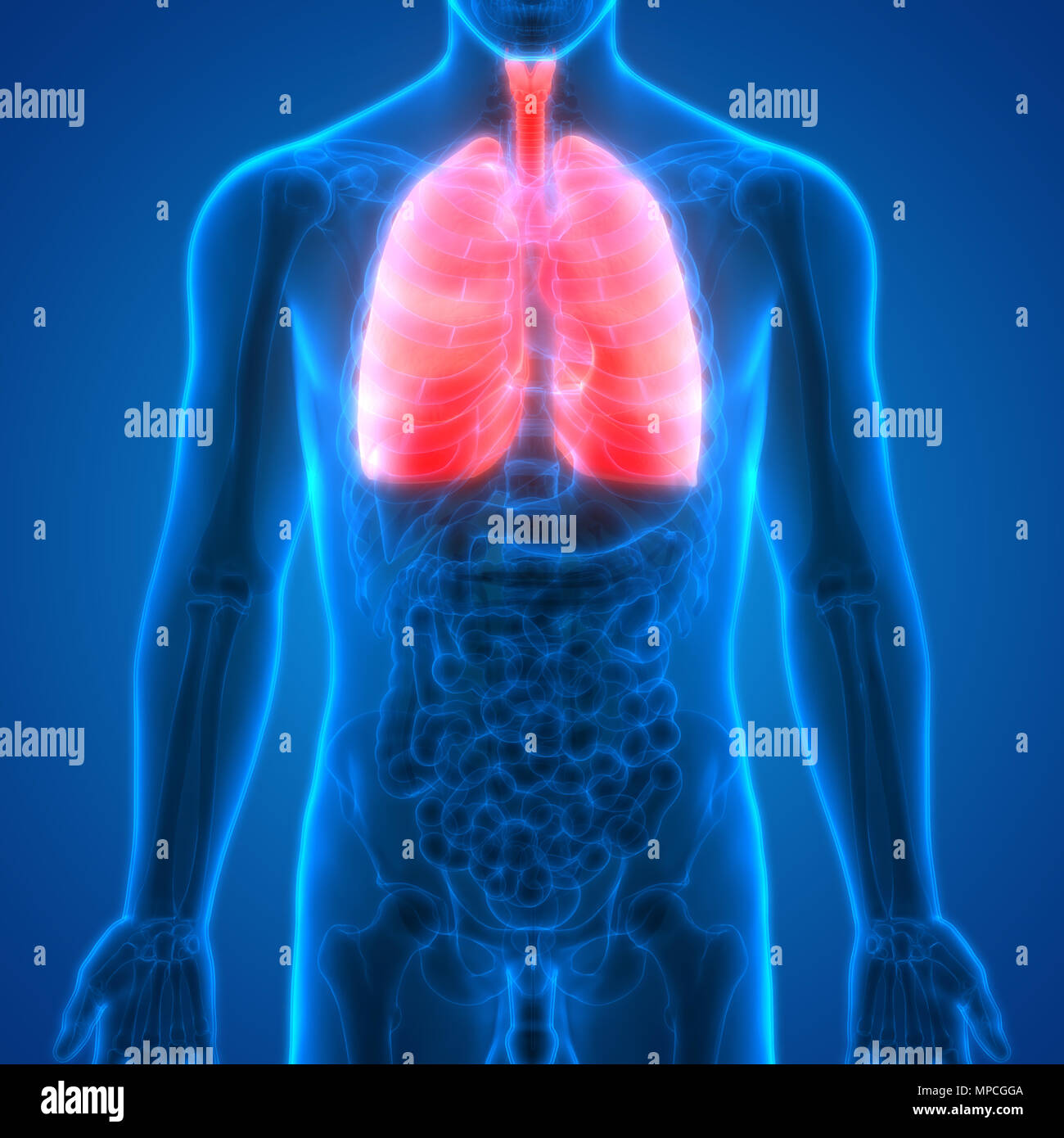 Human Respiratory System Lungs Anatomy Stock Photo 185902538 Alamy