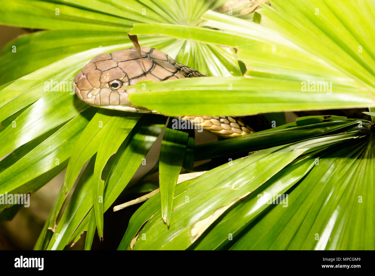 King Cobra hunts through the vegetation with drop of poison on his lips - Stock Image