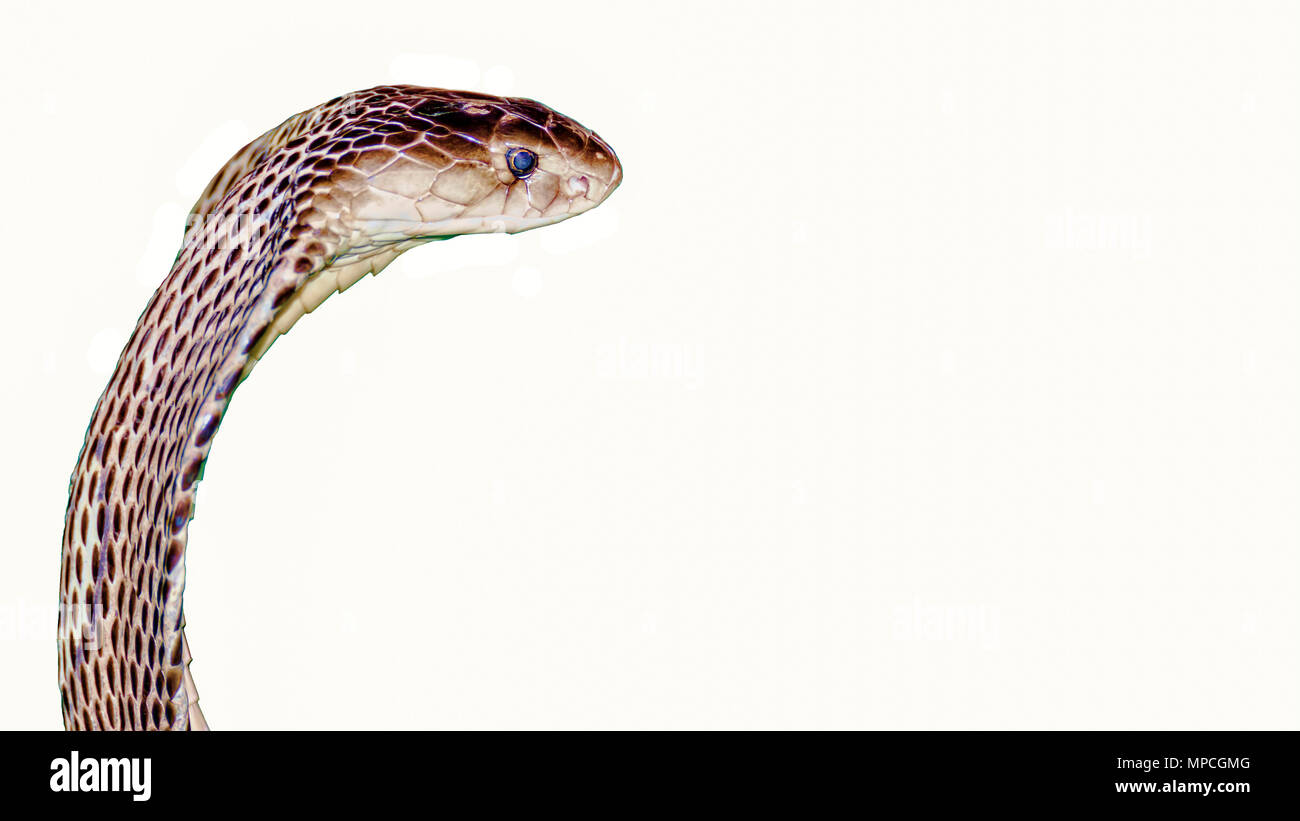 Indochinese spitting cobra portrait on white background with copy space on right - Stock Image