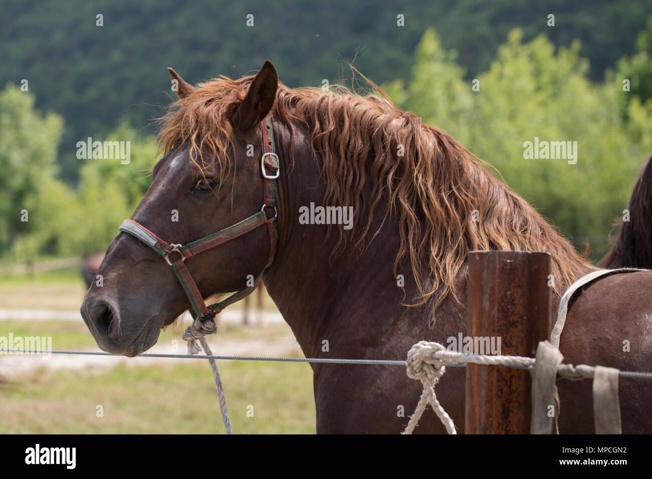 Portrait of a sorrel horse - Stock Image