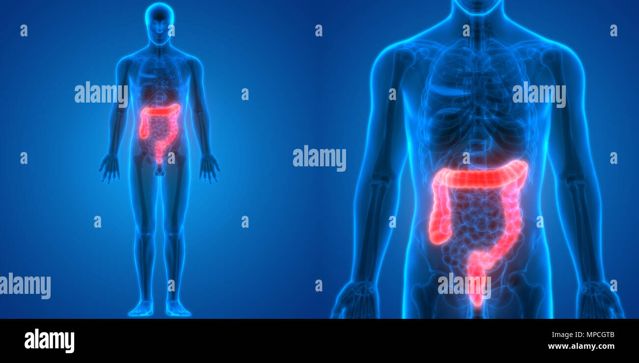 Human Large Intestine Stock Photos & Human Large Intestine Stock ...