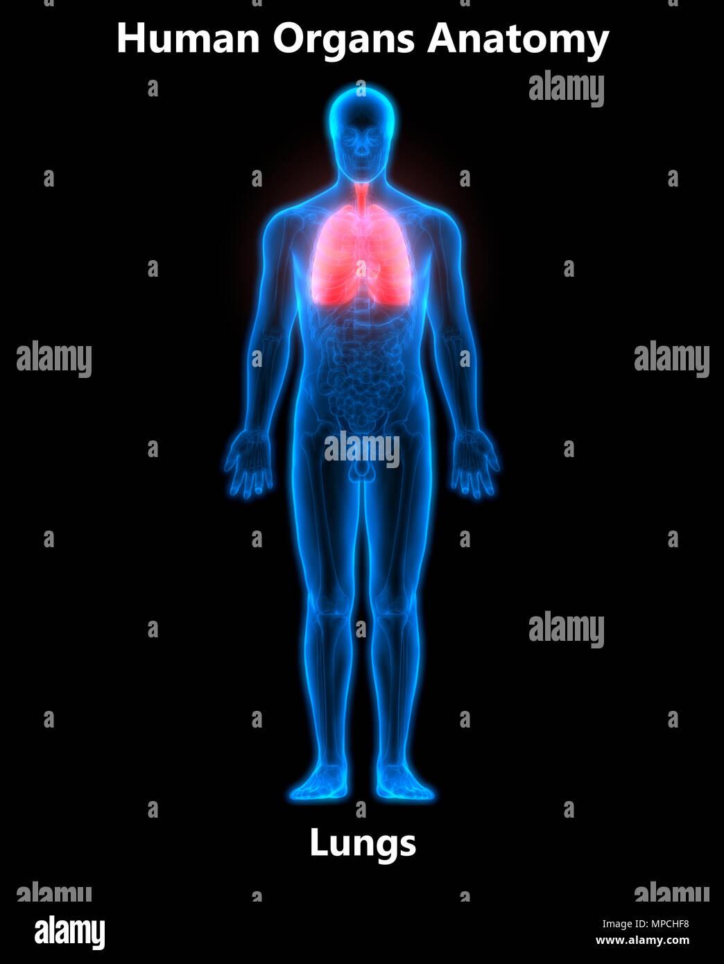 Human Respiratory System Lungs Anatomy Stock Photo: 185903292 - Alamy