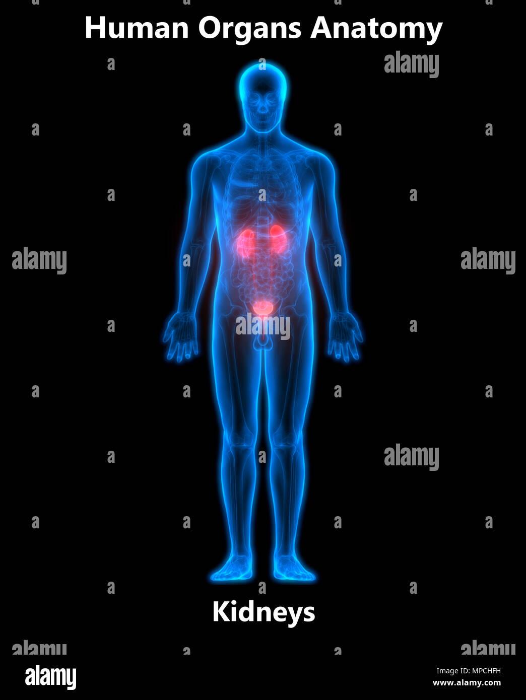 Human Urinary System Kidneys With Gallbladder Anatomy Stock Photo