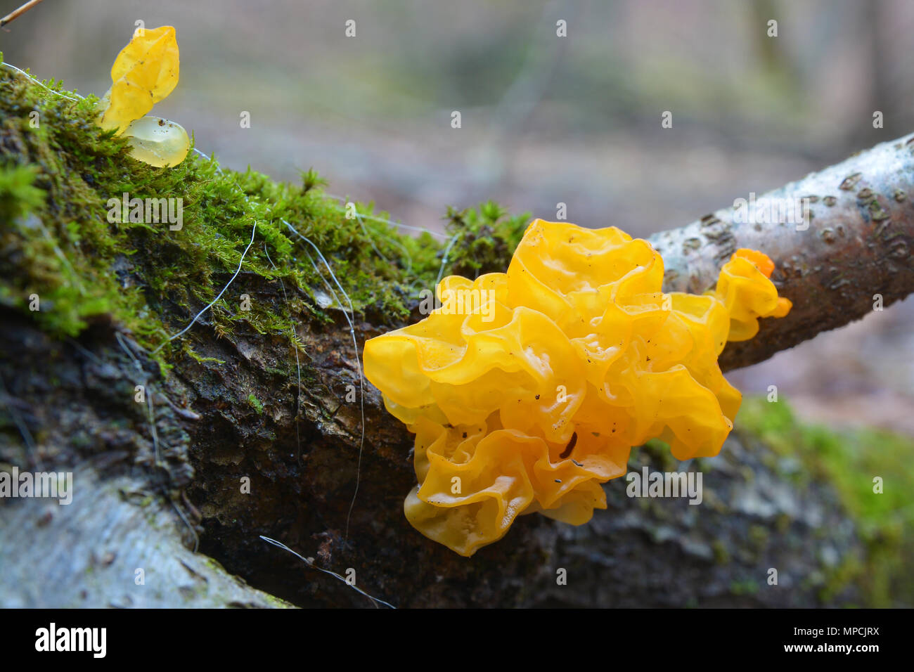 tremella mesenterica, also known as yellow brain, golden jelly fungus, and witches' butter - Stock Image