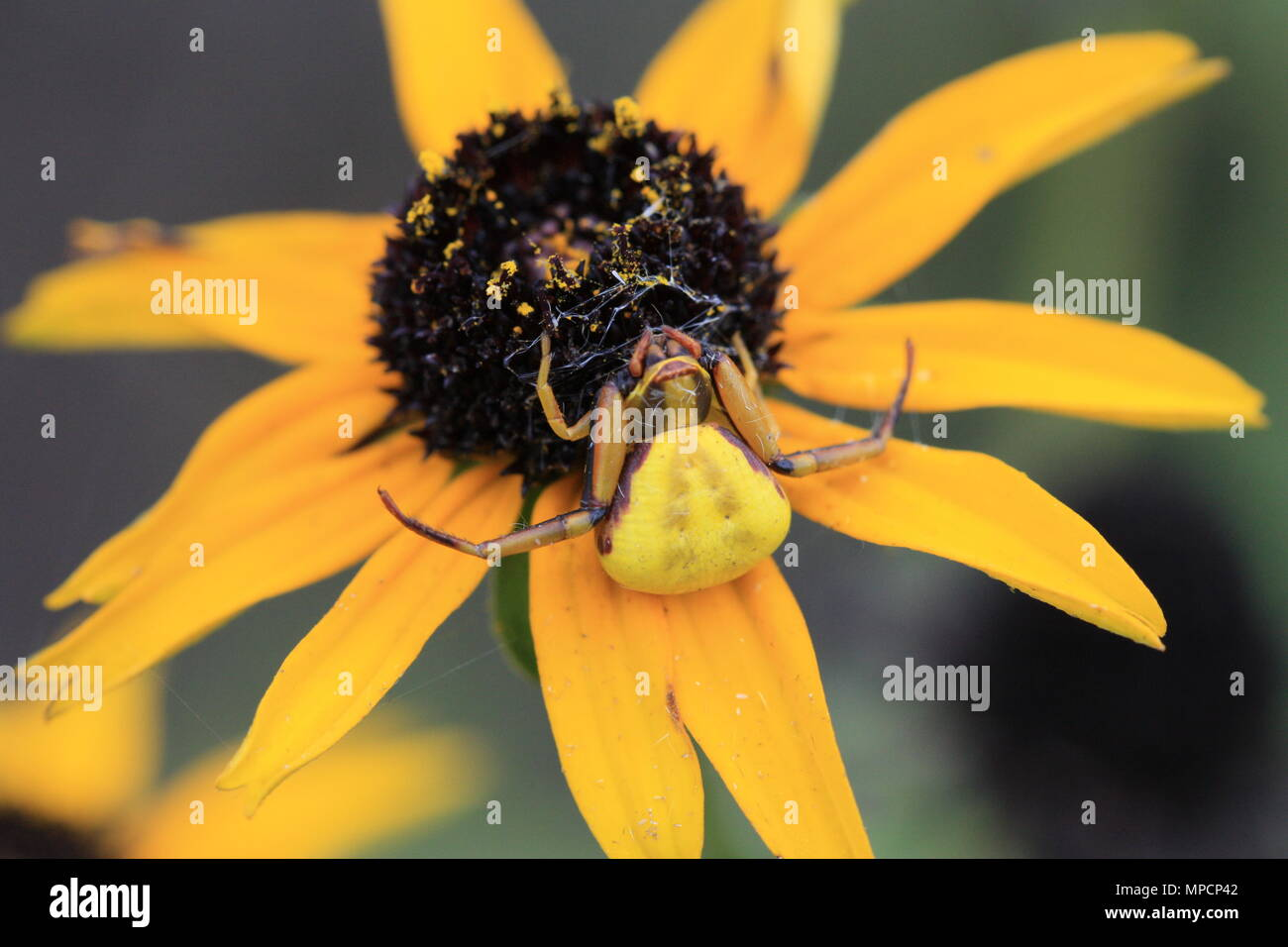 Yellow Spider On A Black Eyed Susan Stock Photo 185906898 Alamy