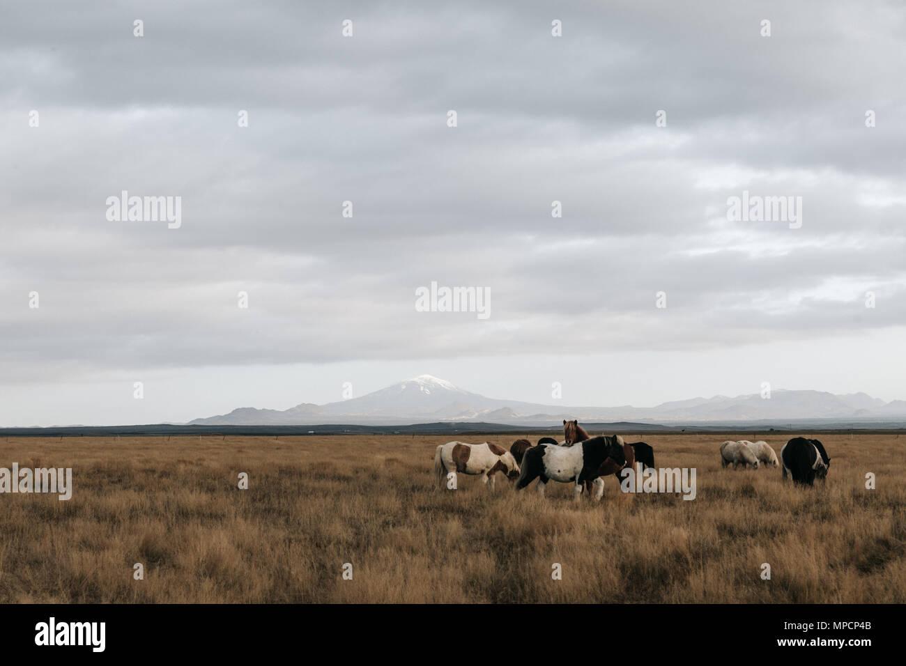Wild horses iceland - Stock Image
