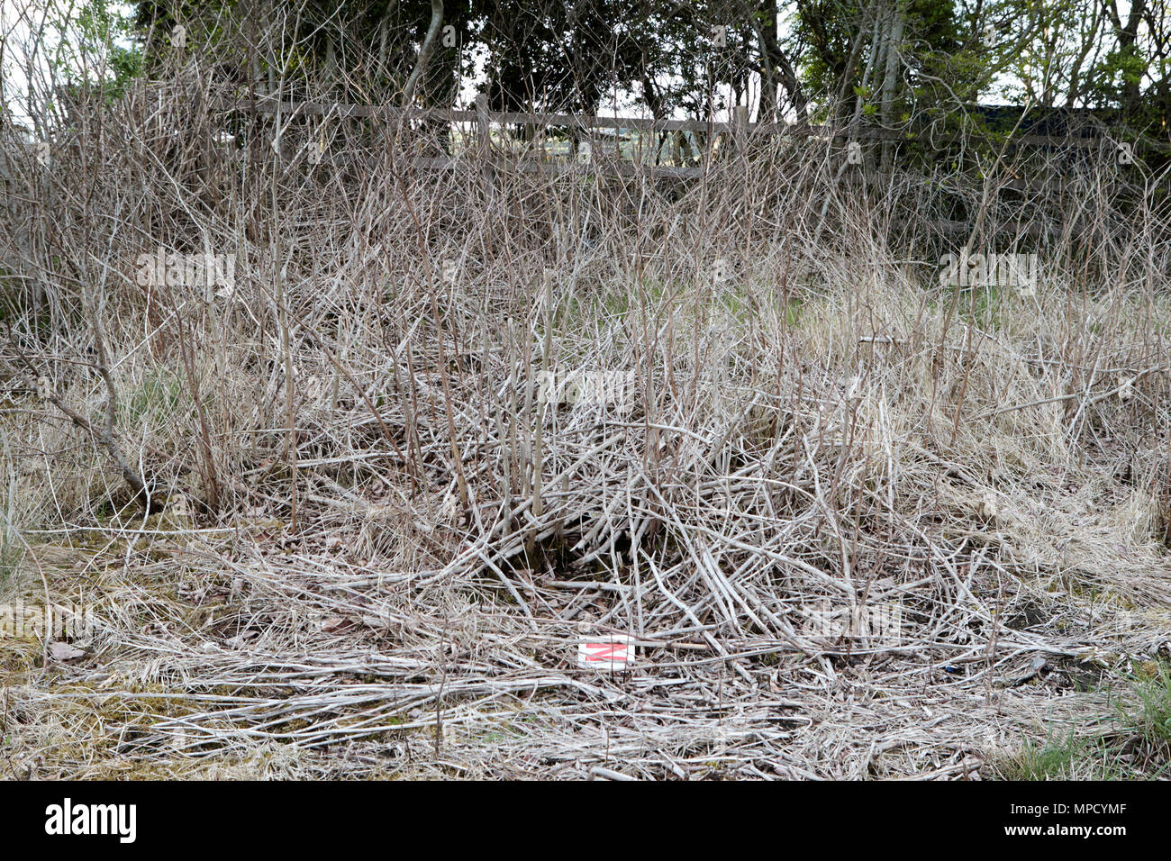 killed off Japanese knotweed eradication on roadside verges in county leitrim Stock Photo