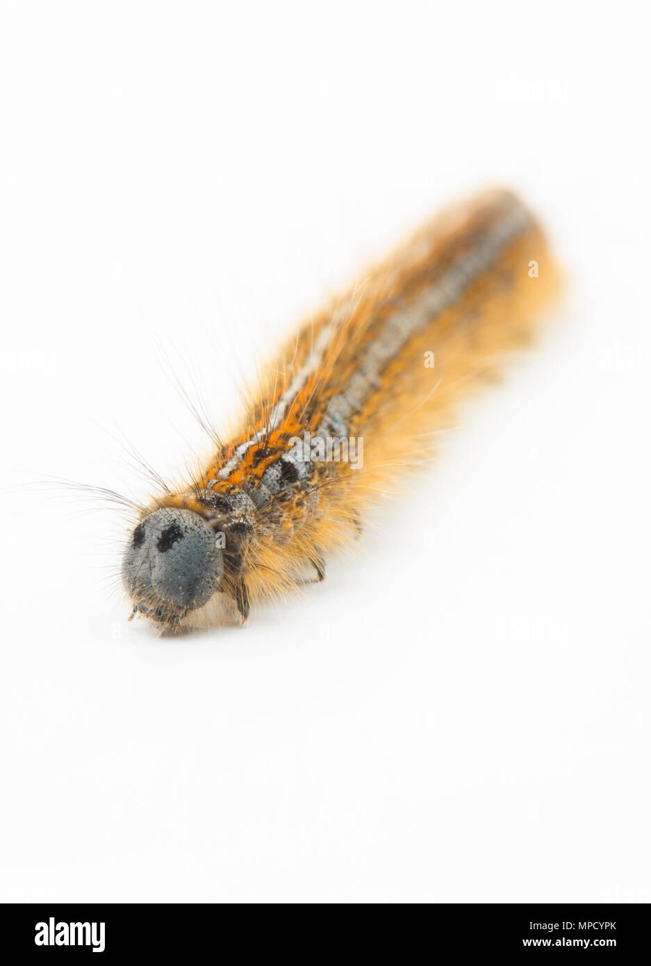 The caterpillar of the Lackey Moth, Malacosoma neustria, found in North Dorset England UK GB and photographed on a white background. - Stock Image