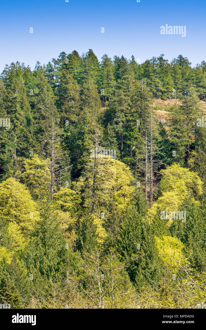 Mixed woodland of Pine and Maple, Hornby Island, BC, Canada. - Stock Image