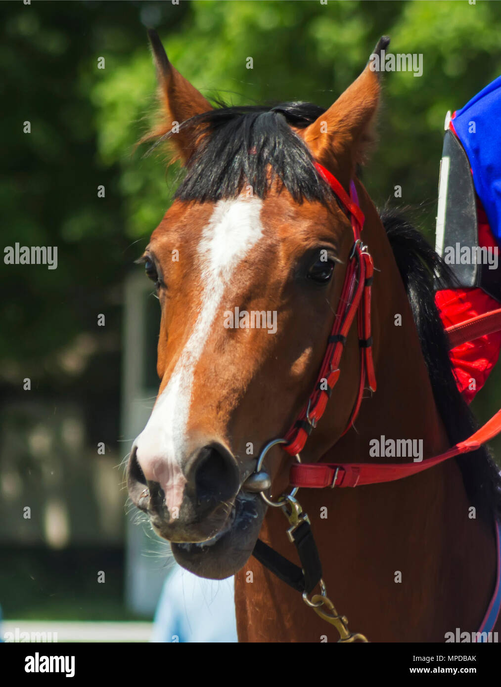 Portrait of a thoroughbred horse after horse racing. - Stock Image
