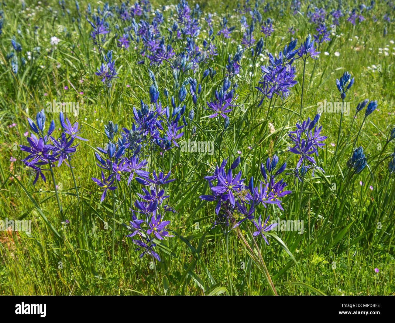 Camas - Camassia quamash - plant in flower, Hornby Island, BC, Canada. - Stock Image