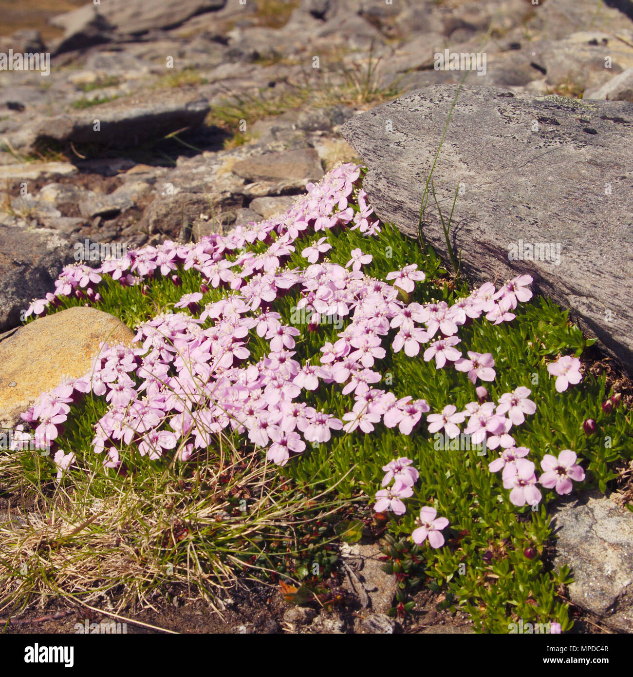 Pink arctic flowers stock photos pink arctic flowers stock images a bed of pink cushion flowers against a rock stock image mightylinksfo