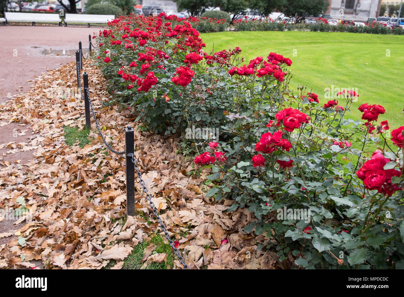 Blooming red roses bushes with beige dry oak leaves in public park. Green lawn behind the flowers. Autumn city contrasts. Urban street on background. - Stock Image