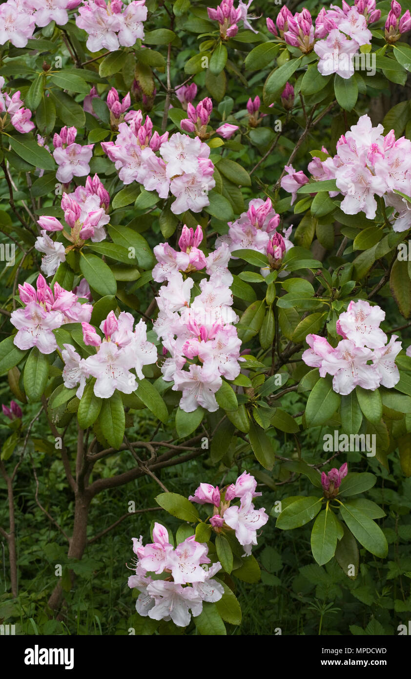Rhododendron 'Charles E Pearson' flowers. Stock Photo