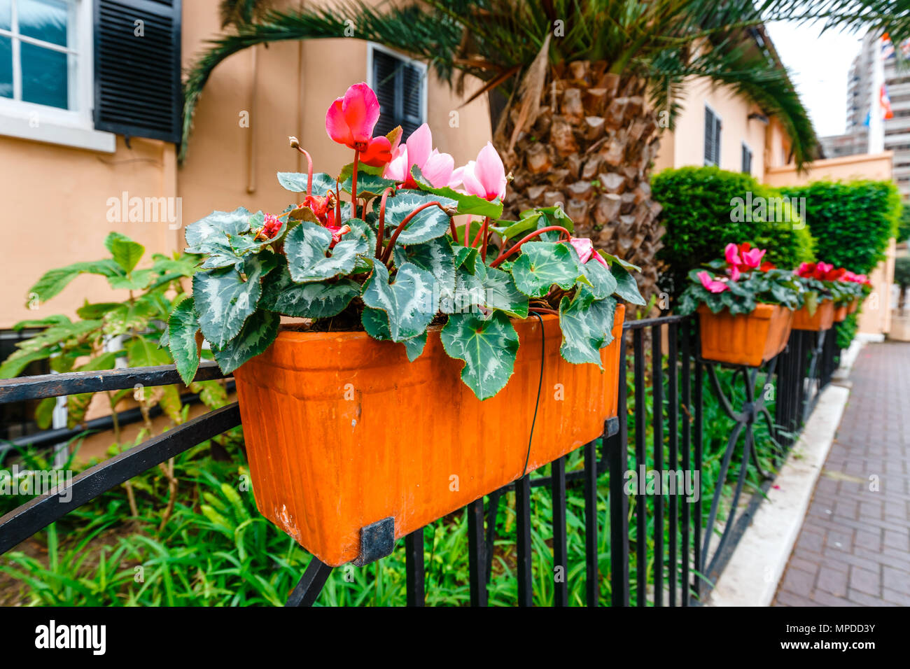 Potted Spring Flowers On A Fence Close Up Stock Photo 185921791